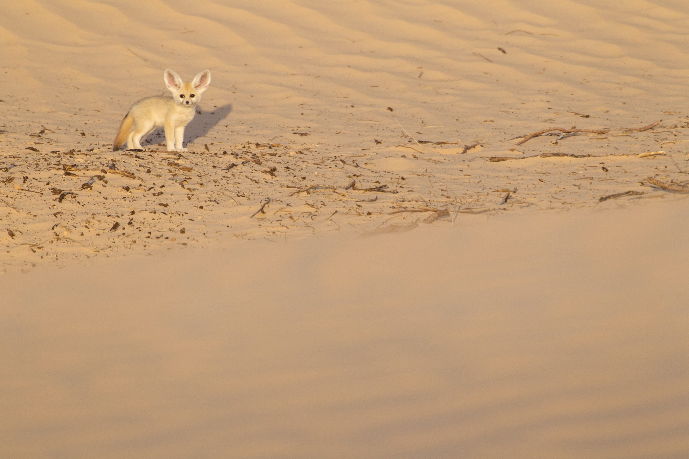 One of the first two fennec fox pups that D'Amicis encountered in the wild explores the terrain around its den.