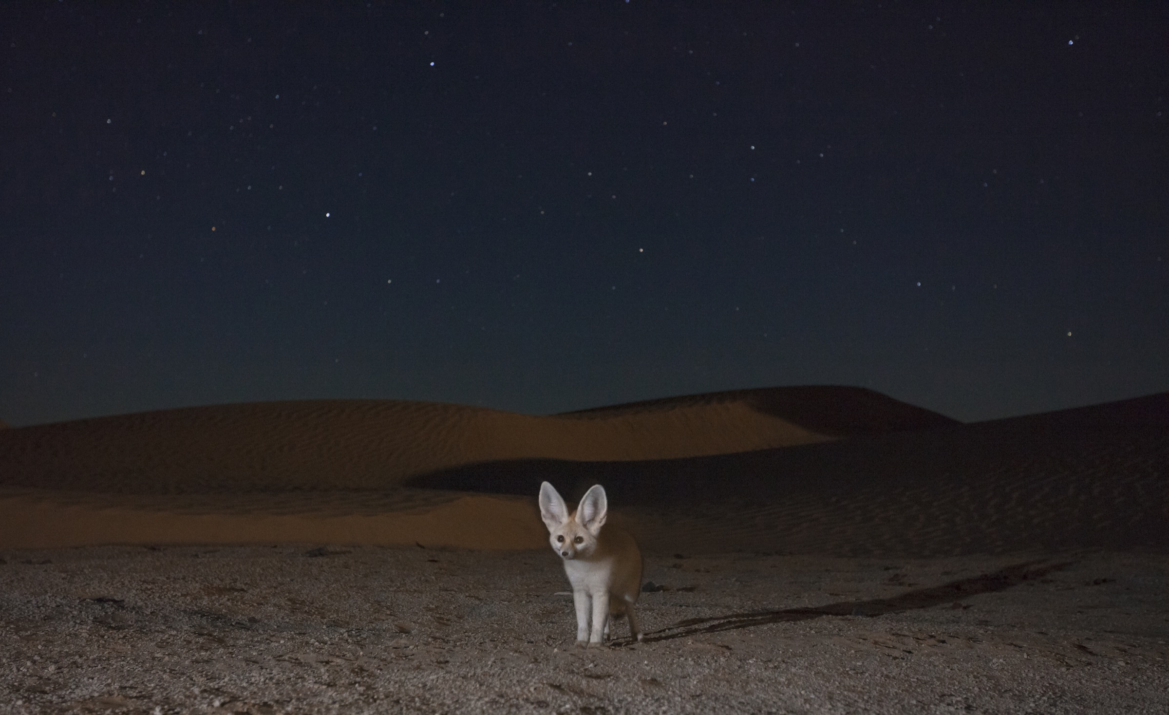 To capture this image of a fennec fox under a starry night sky, D'Amicis set up a camera trap at the entrance to a gerbil den and waited for weeks for a tiny hunter to approach.