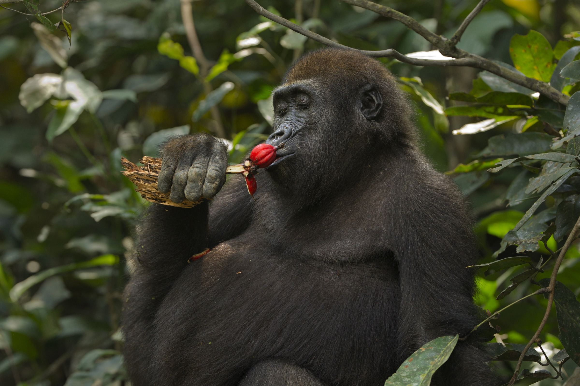 Mobangi feeds on fruit while holding a piece of rotting wood that he planned eat later. His father, Makumba, got first dibs on food, but Mobangi would clean up all the leftovers.