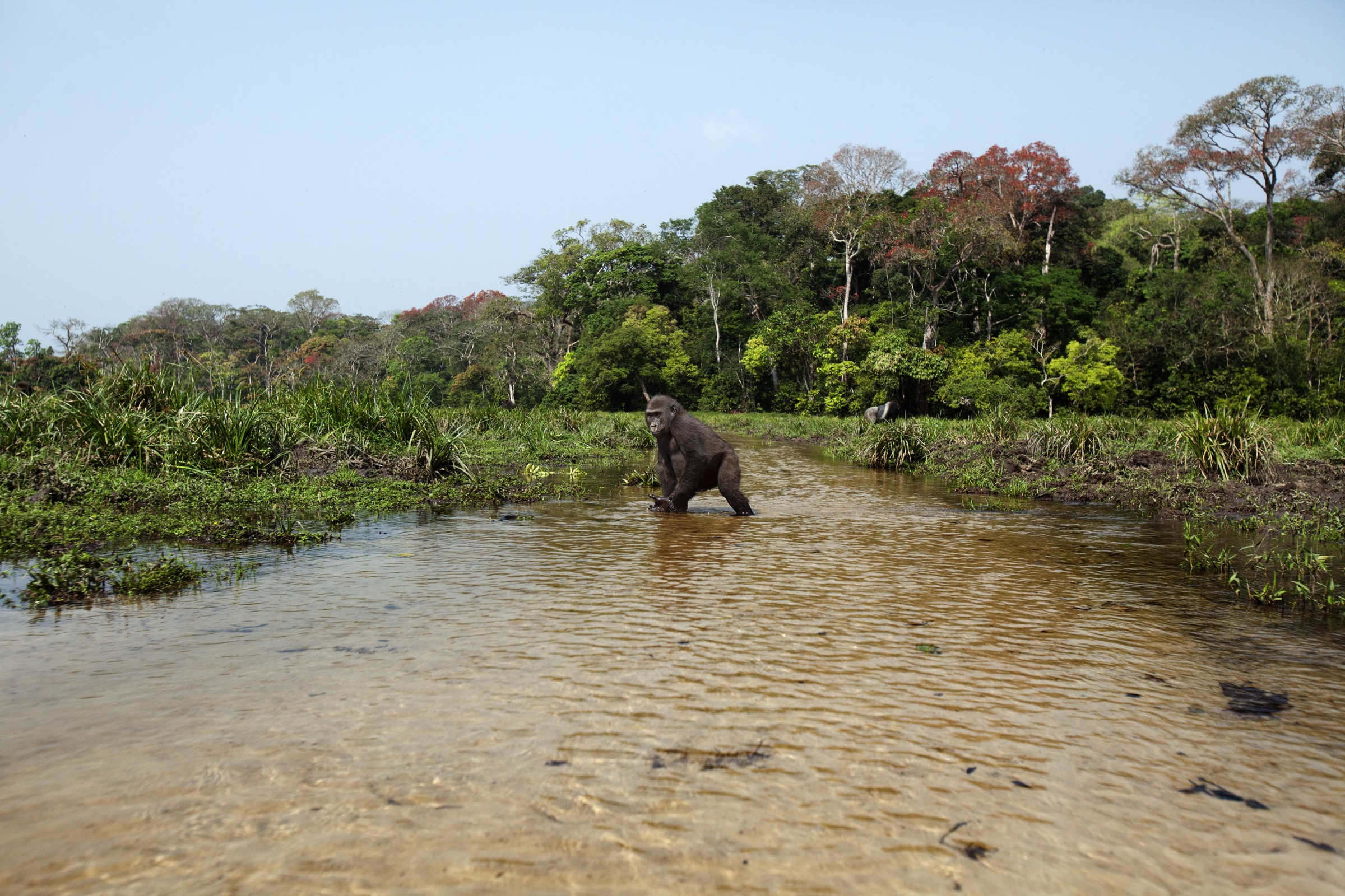 Western lowland gorilla (Gorilla gorilla gorilla) male, Tembo, age 4, crossed a river in Bai Hokou, Dzanga Sangha Special Dense Forest Reserve, Central African Republic.