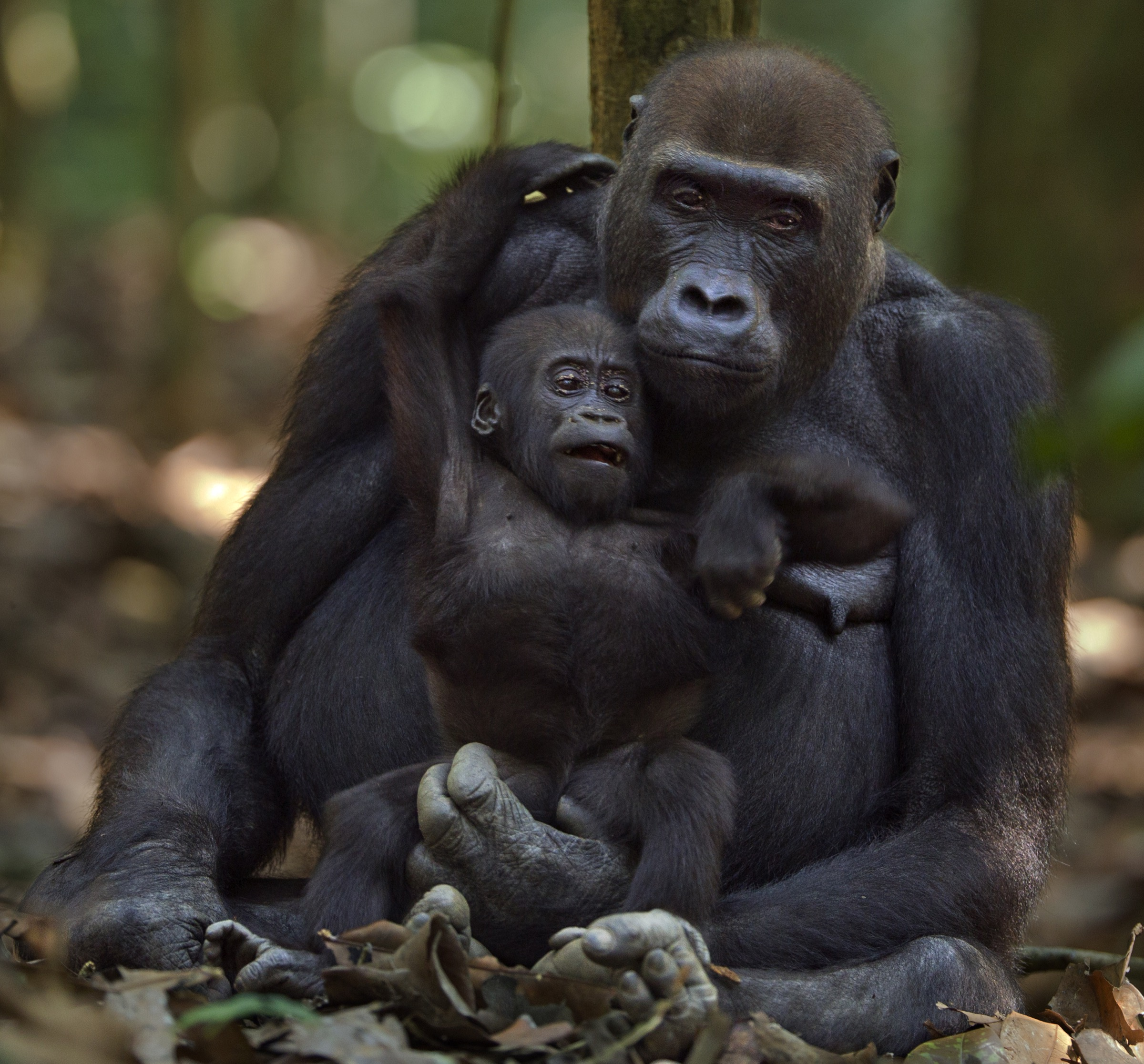 Mopambi was the older but lower-ranking of the two females in the family group. Here she sits with her playful infant Sopo, aged 18 months, who she would nurse and carry until he was 3 or 4 years old.
