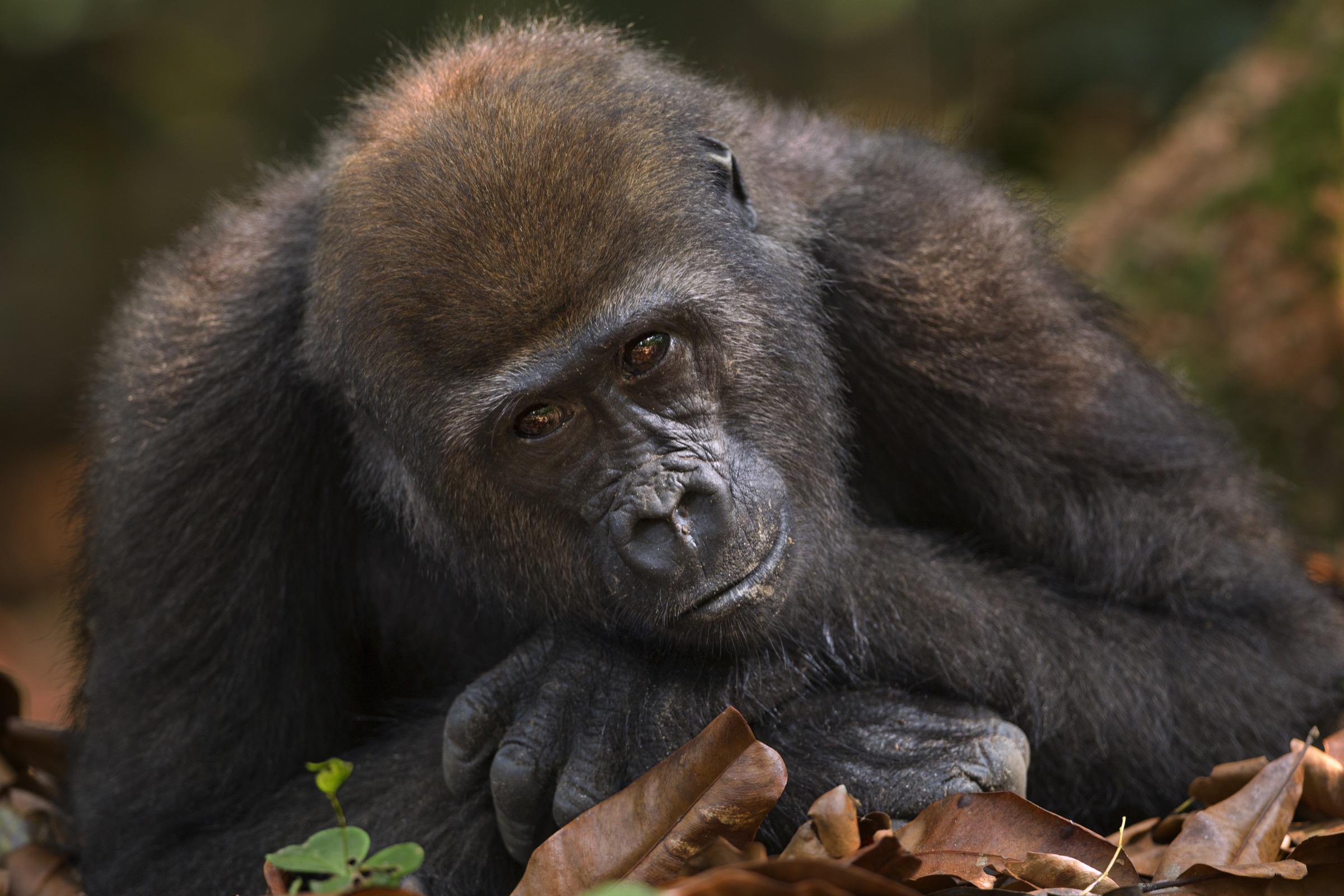 Mobangi, a five-year-old male, rests on his hands.