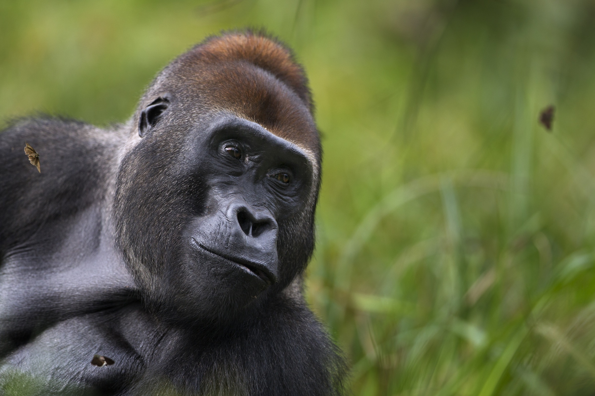 As the dominant male silverback, Makumba called the shots for the other 8 gorillas in his family group.