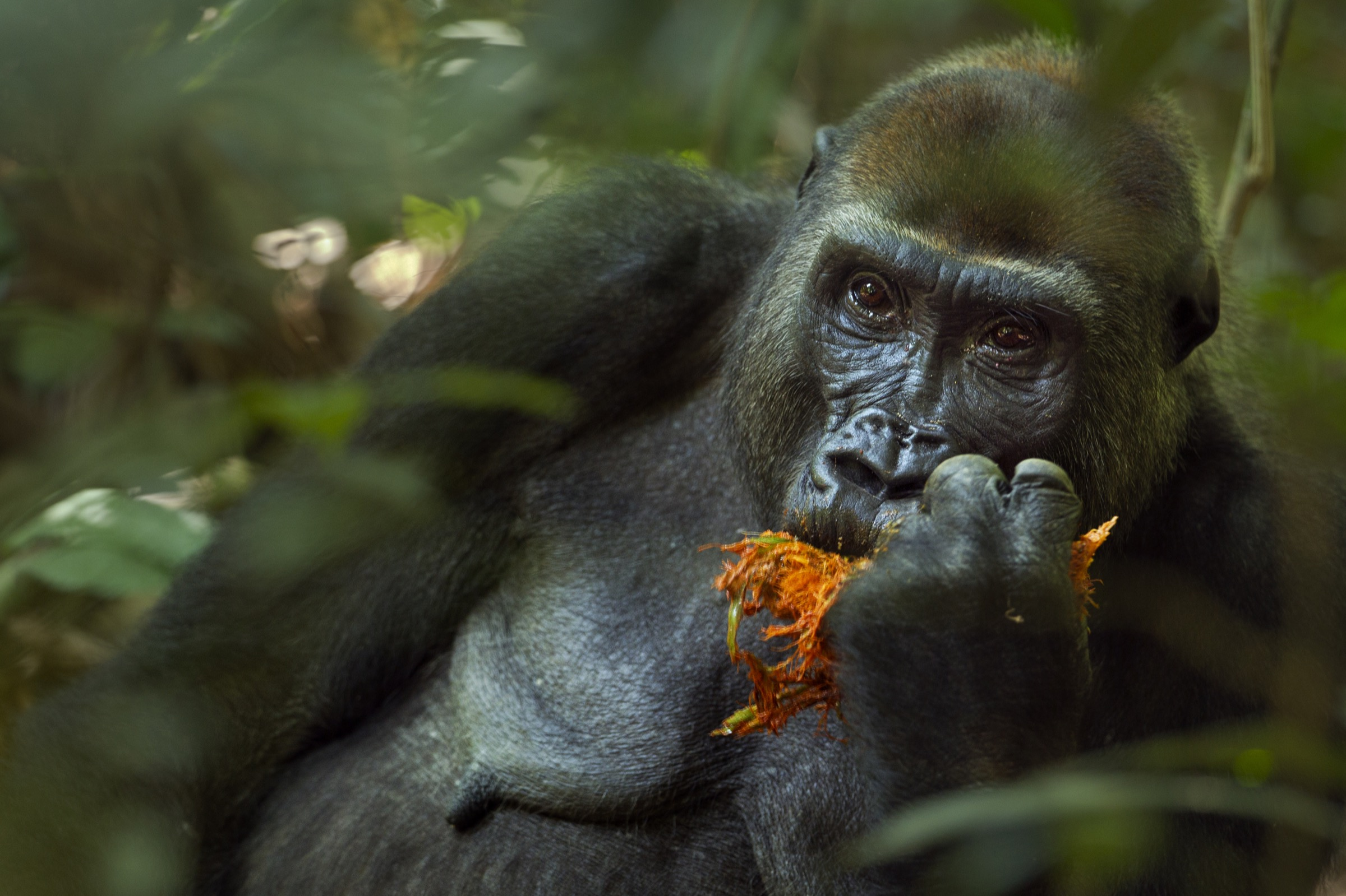Malui, the dominant female in the family, often fed on fruit in the Bai Hokou, Dzanga Sangha Special Dense Forest Reserve. Fruit makes up a big part of the western lowland gorilla diet.
