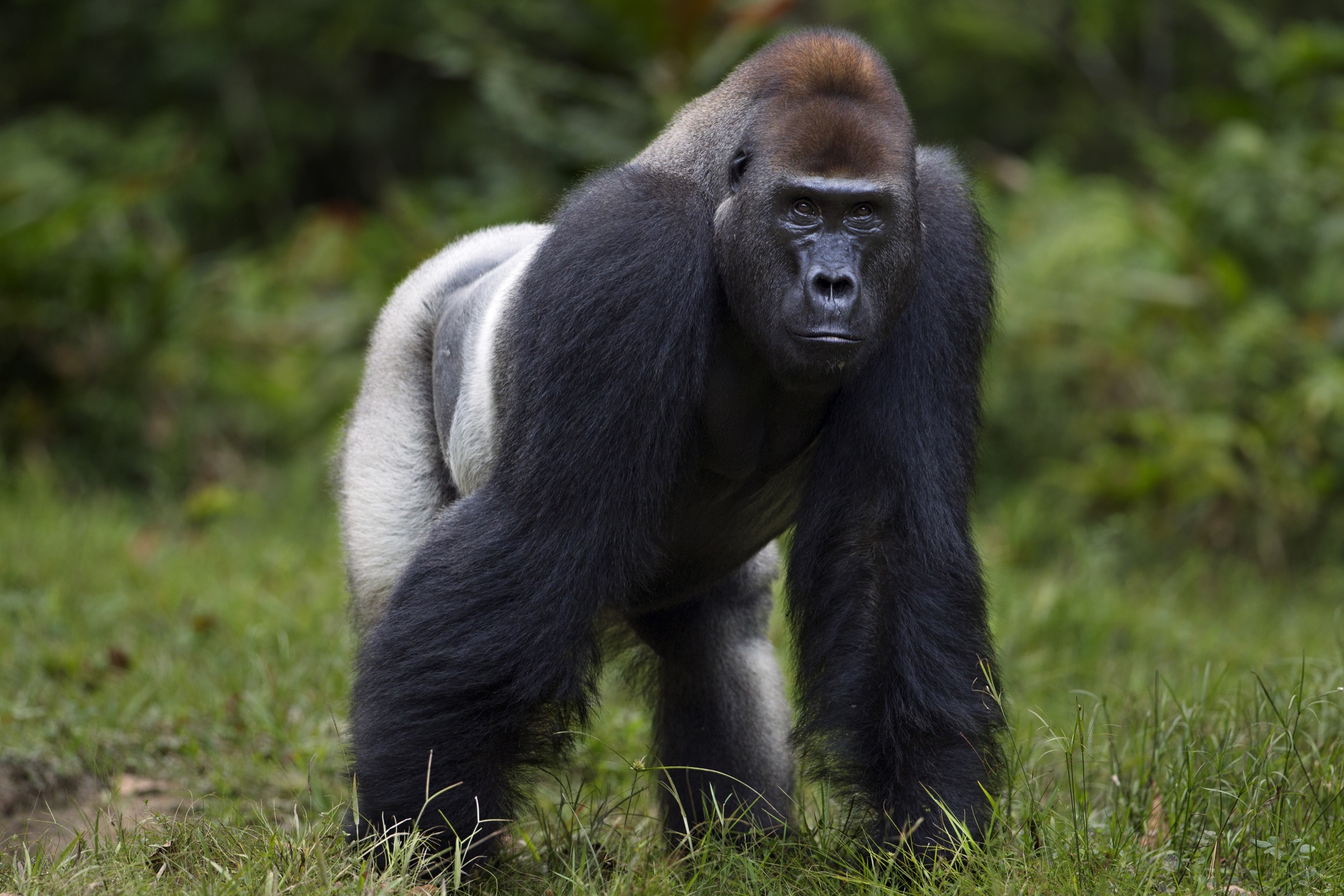The characteristic silver hair on his back is visible in this shot of Makumba, the dominant male in his family group of western lowland gorillas.