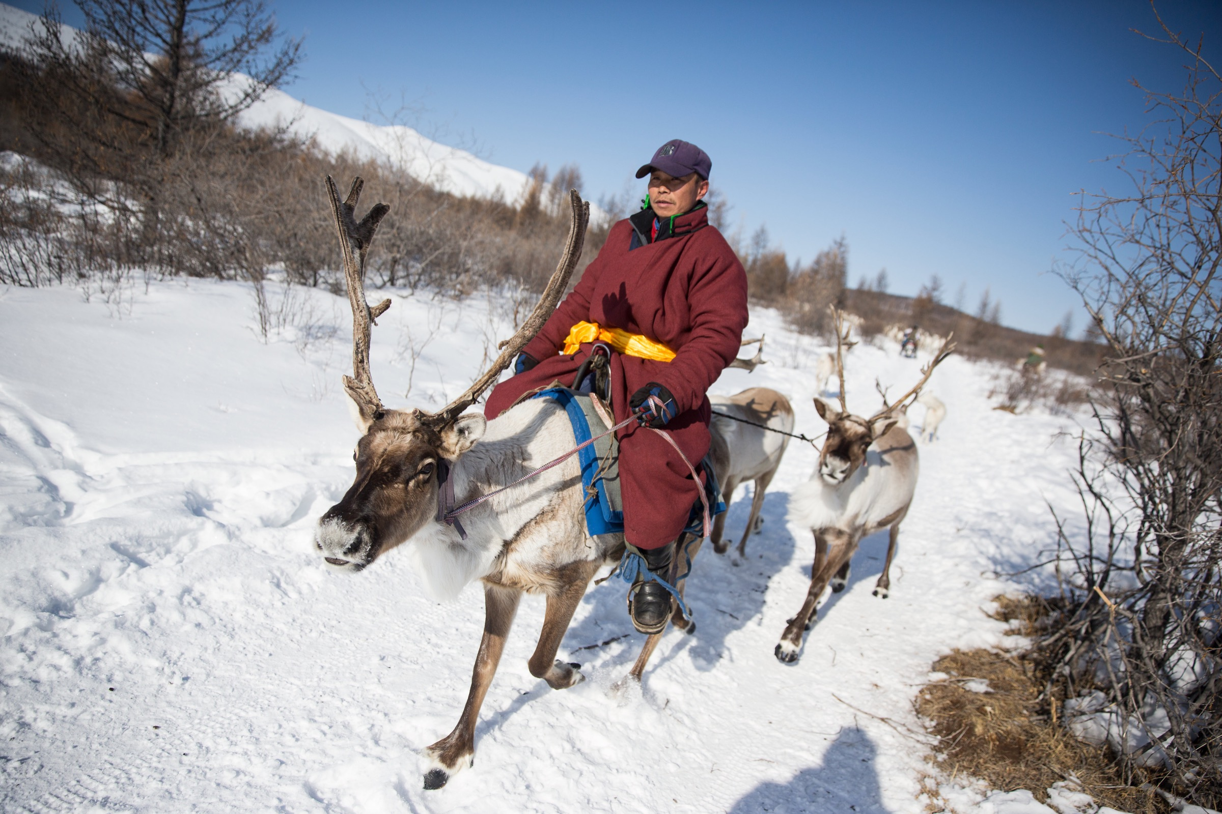 On a sunny day in March, after the reindeer returned from their grazing grounds early, Dukha herders led them to a camp in the East Taiga.