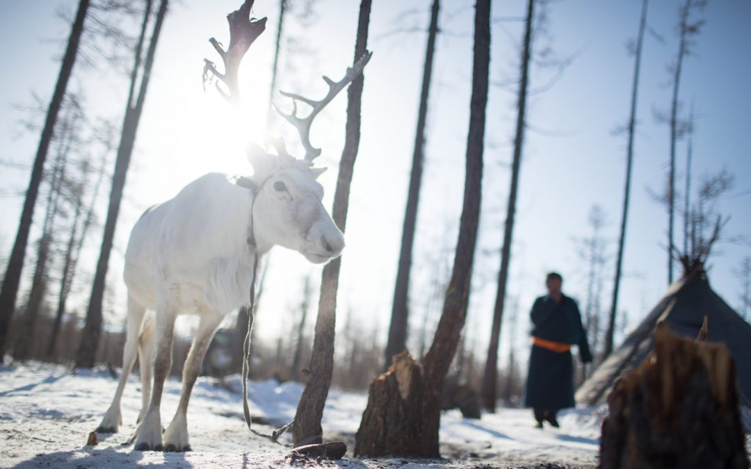 A reindeer is tied to a tree in a seasonal camp near Tsagaan Nuur, Mongolia.