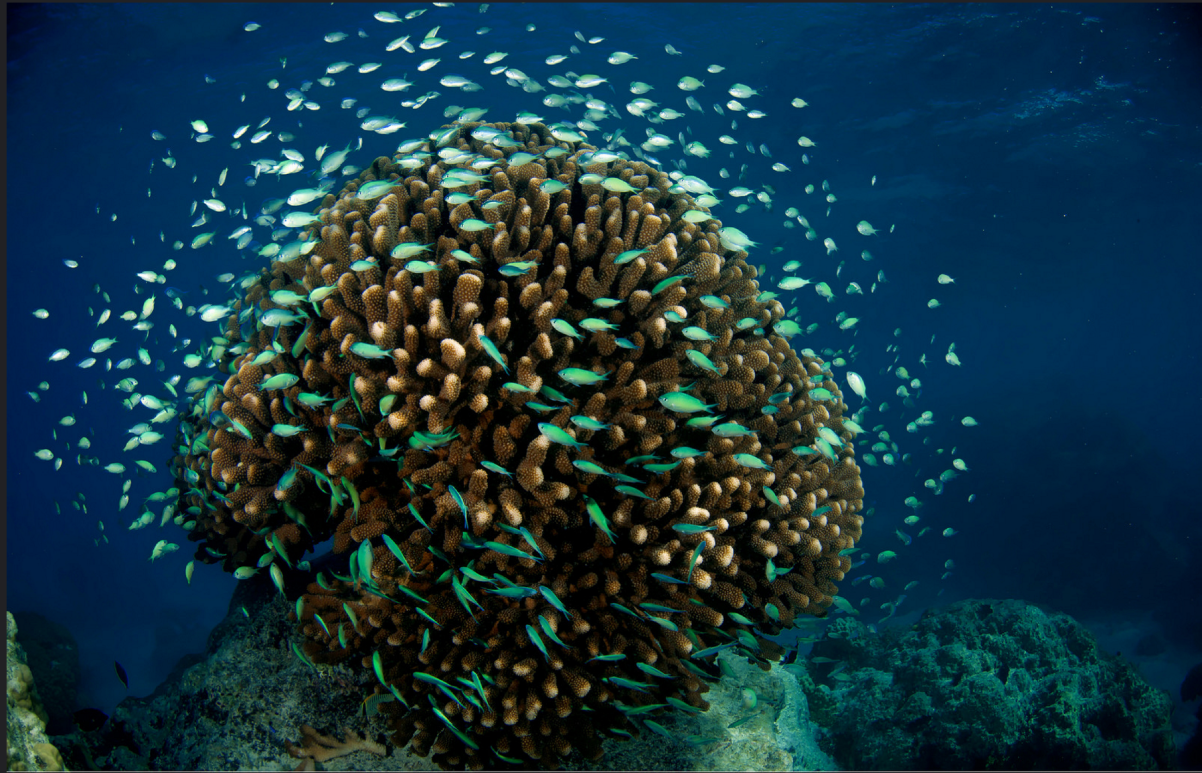Cauliflower coral (Pocillopora meandrina)—Photograph by Lauric Thiault / TARA Expeditions Foundation