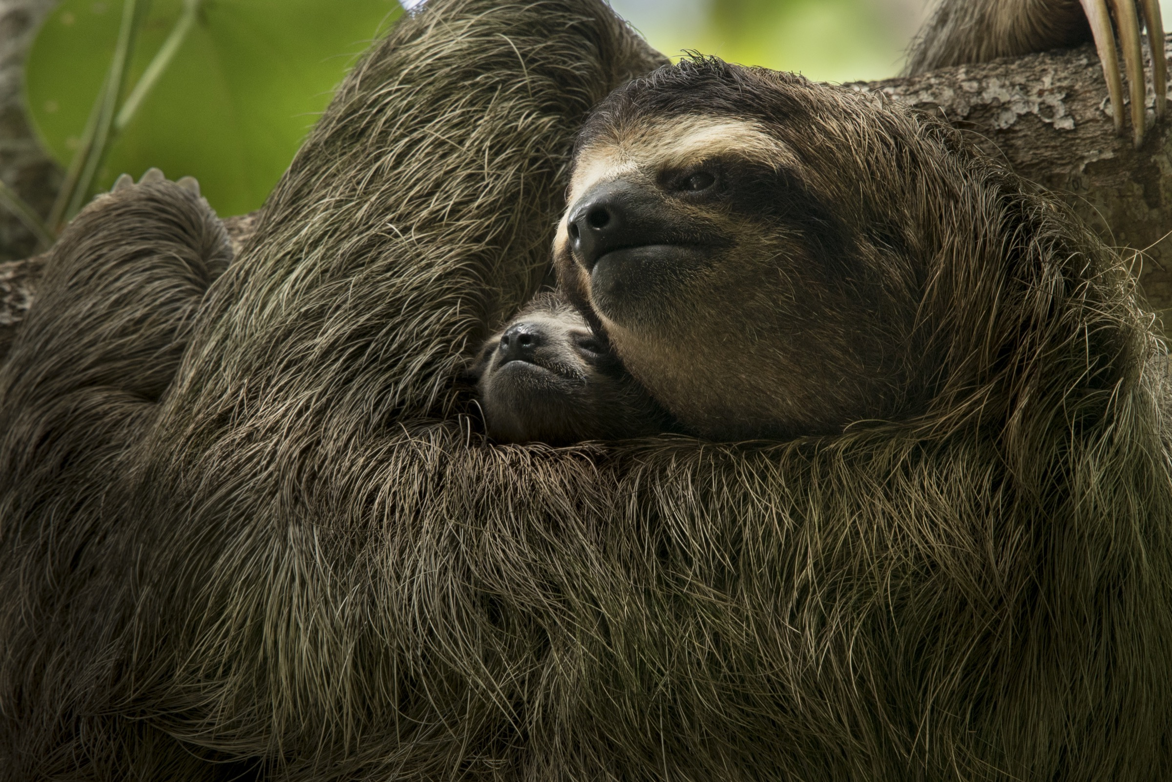 A three-toed sloth mother and baby (<em>Bradypus</em> sp.) are two of the many inhabitants of Central America's rainforest ecosystem.