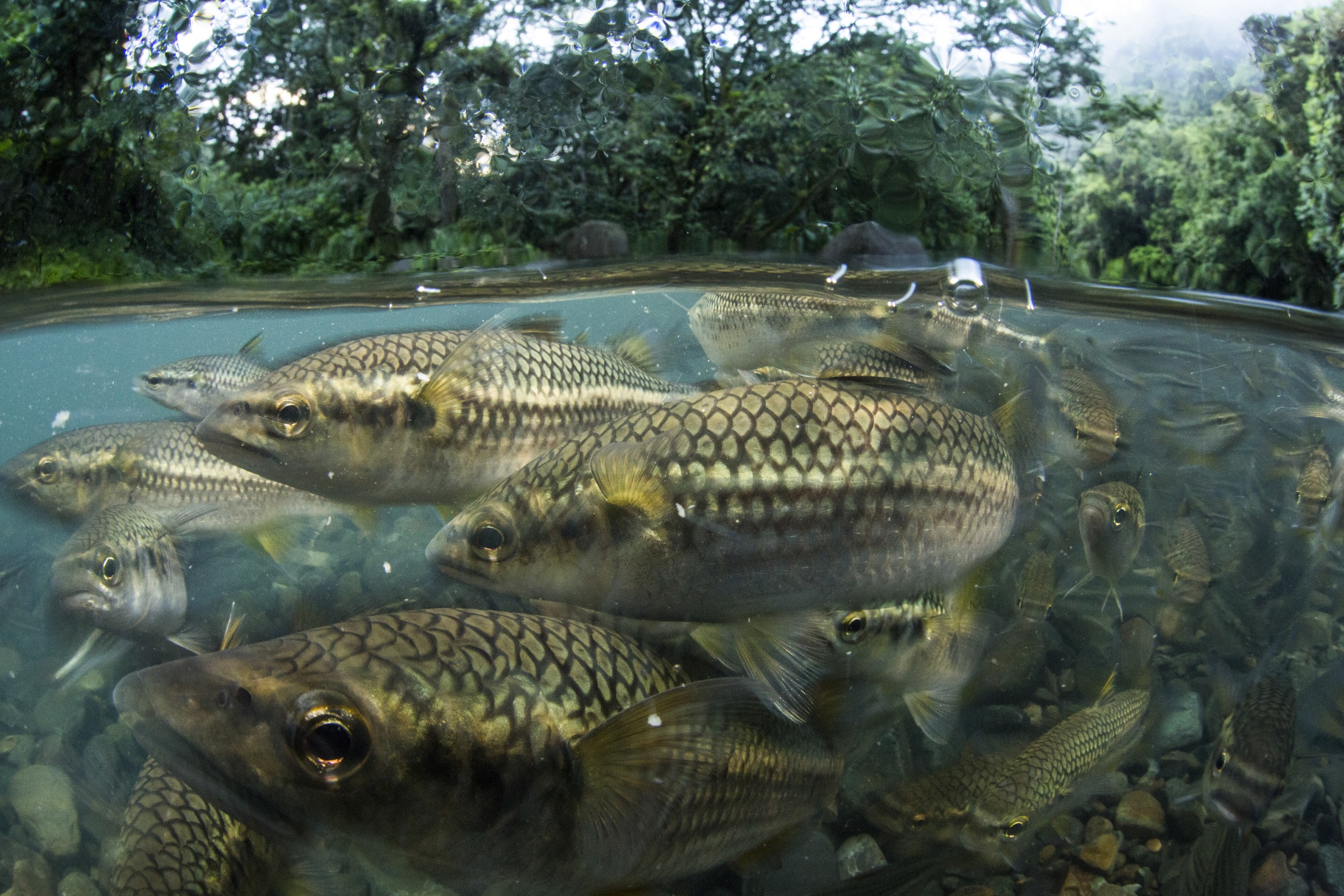 Migratory fish like these mountain mullet (Agonostomus monticola) are a common sight in Central American rivers.