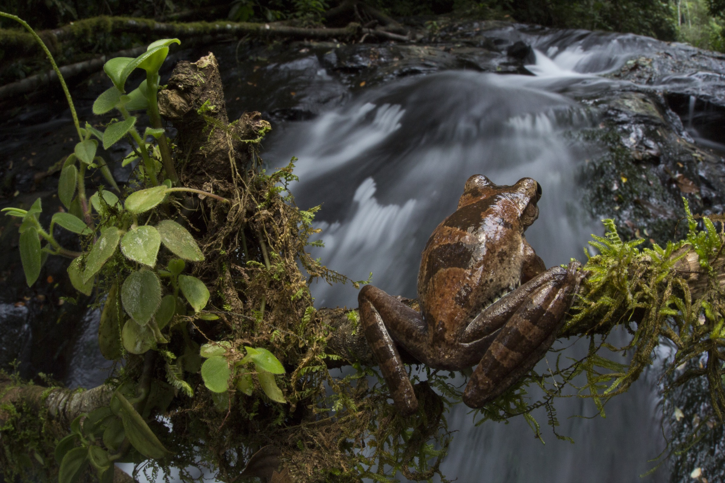 A drab treefrog (<em>Smilisca sordida</em>) perches above a waterfall along the Rio Carbon in southeastern Costa Rica.