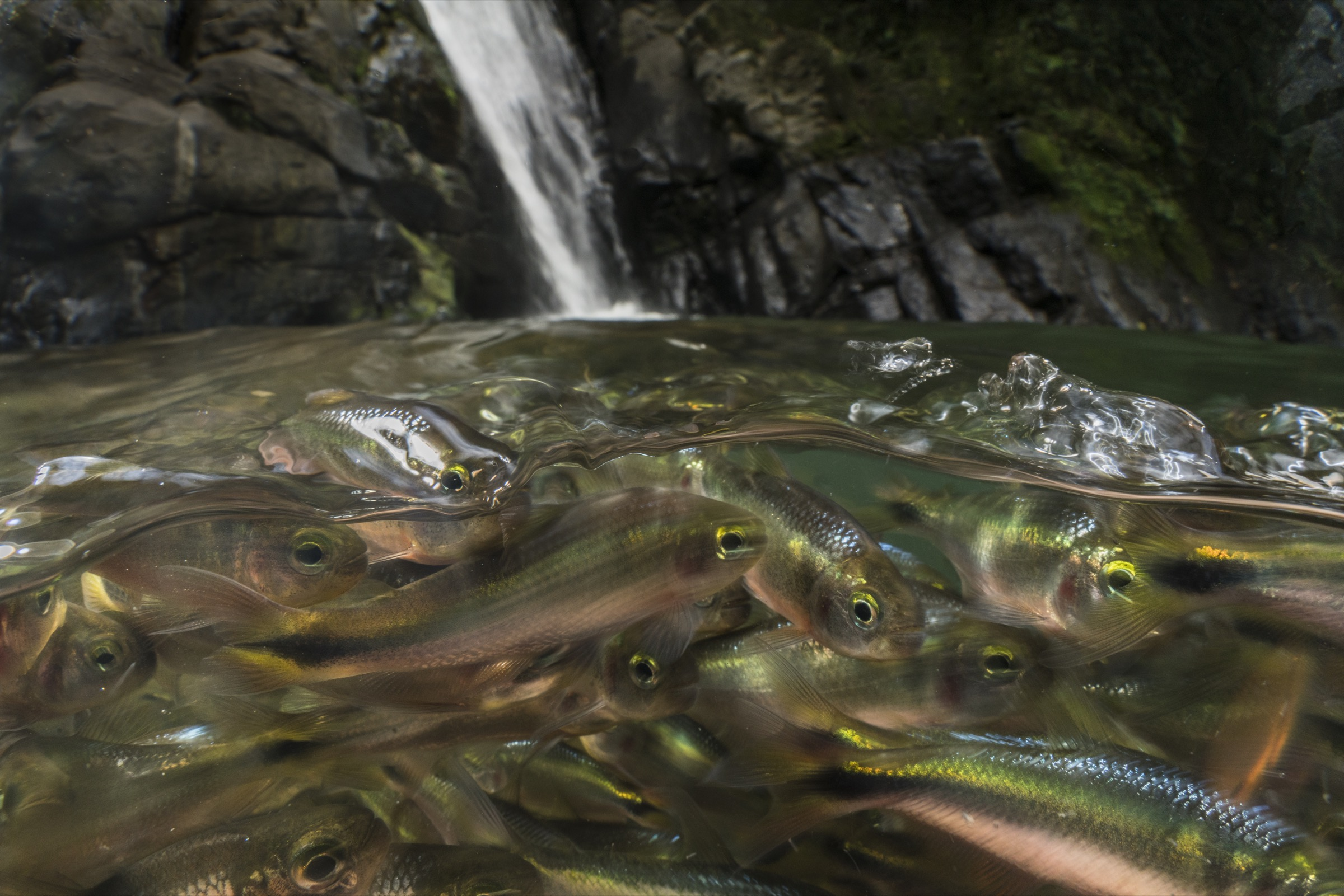 A large school of creek tetras congregates at the base of a waterfall.