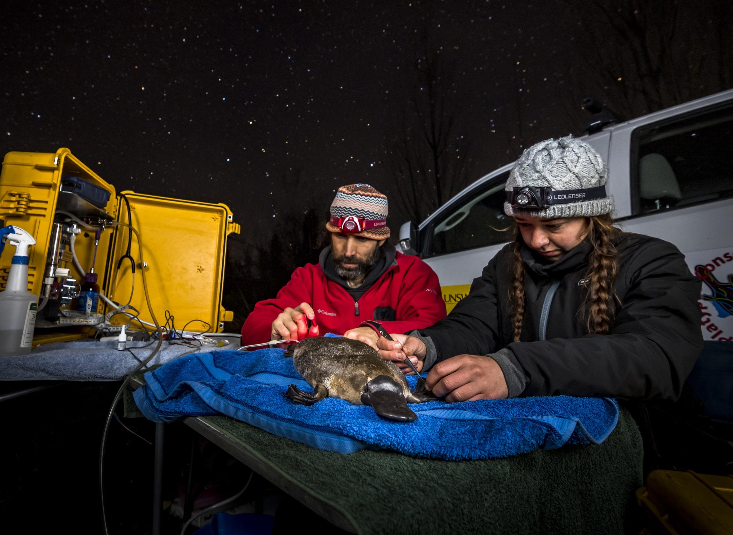 Los investigadores Gilad Bino y Tahneal Hawke trabajan rápidamente para implantar quirúrgicamente un transpondedor de radio en un ornitorrinco anestesiado antes de su lanzamiento.  Transpondedores como este están ayudando a los científicos a comprender mejor los movimientos de ornitorrinco.