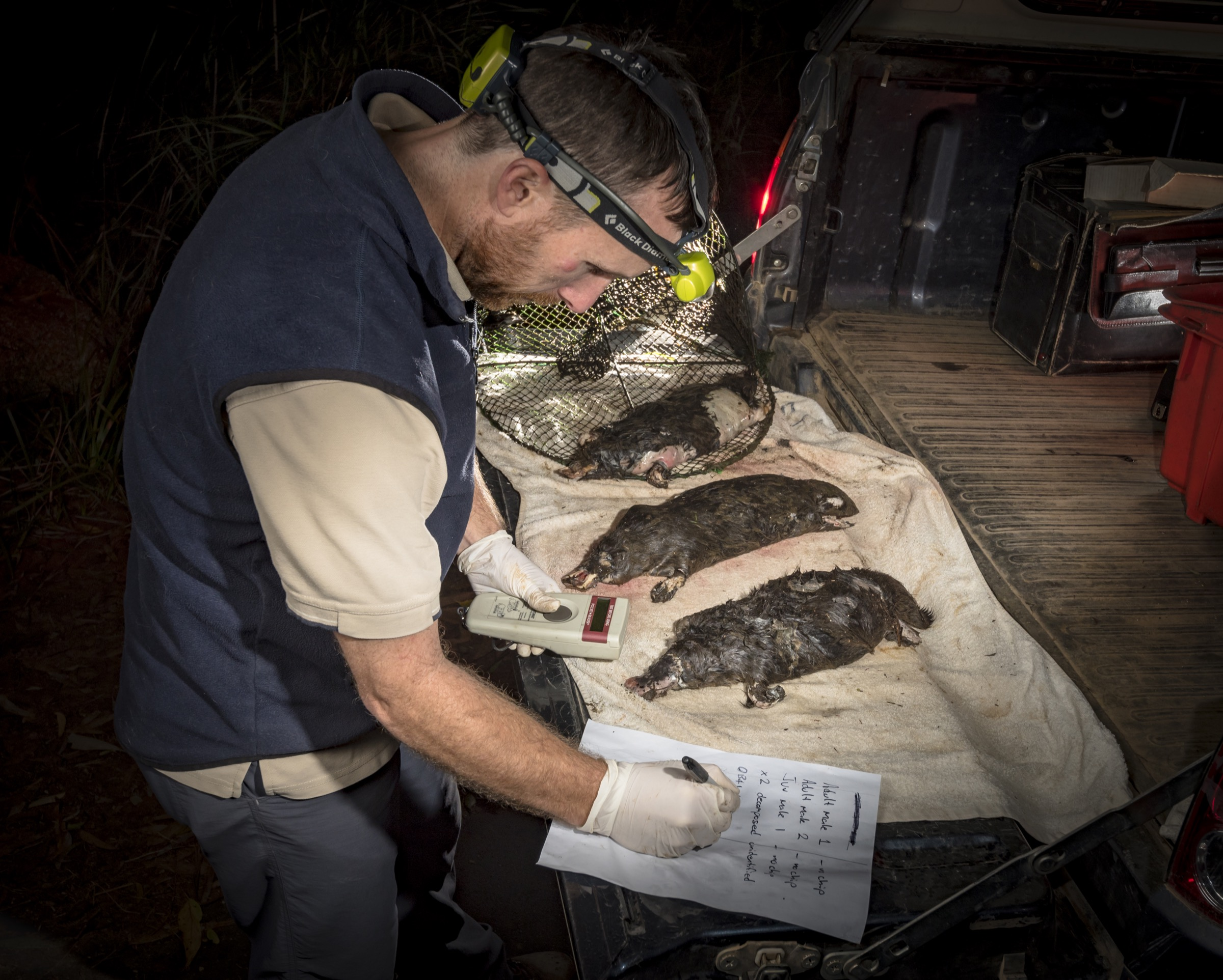 Ecologist Joshua Griffiths examines the bodies of platypuses drowned inside so-called opera house traps that were set illegally in Labertouche Creek, eastern Victoria.