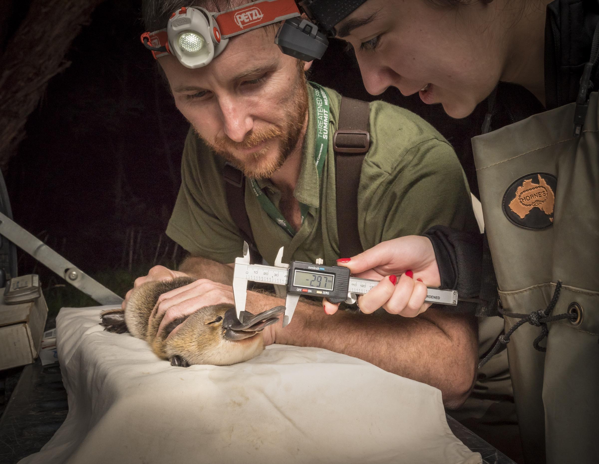 El ecologista Joshua Griffiths sostiene un ornitorrinco mientras un asistente de campo se prepara para medir la cuenta del animal.  El ornitorrinco fue capturado como parte de un estudio de Melbourne Water para monitorear a la población local.