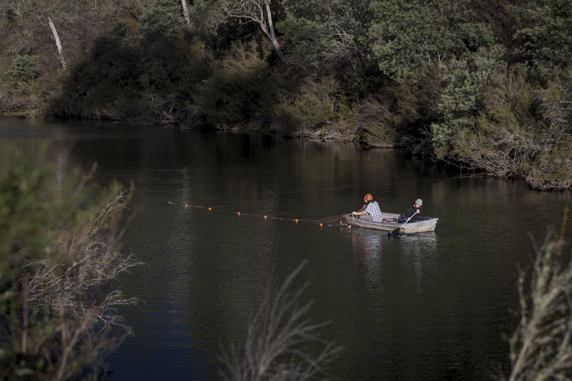 Los investigadores colocan redes en el río Mitta Mitta cerca de Dartmouth, Victoria, en un intento de atrapar y marcar ornitorrincos residentes.