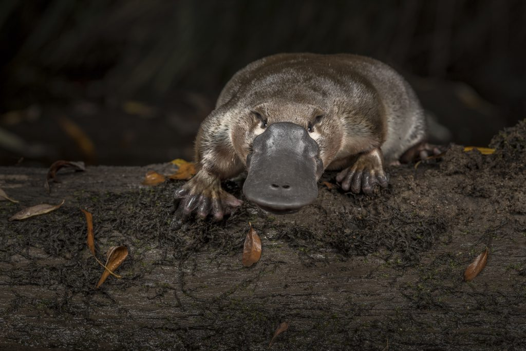 A platypus (Ornithorhynchus anatinus) pauses for a moment after being released by scientists into the Little Yarra River, its home stream in Victoria, Australia.