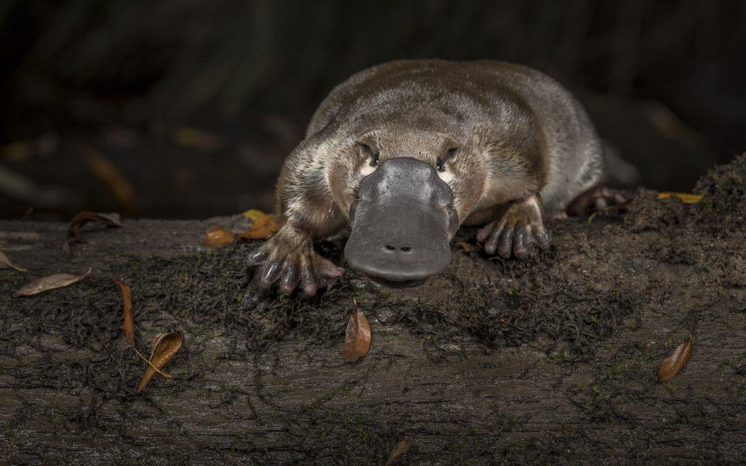 Plight of the Platypus