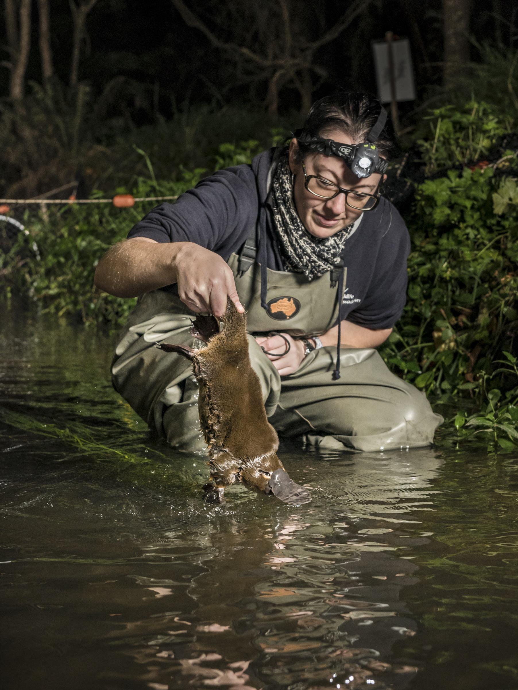 Un investigador libera un ornitorrinco capturado en Woori Yallock Creek, en Victoria, Australia.