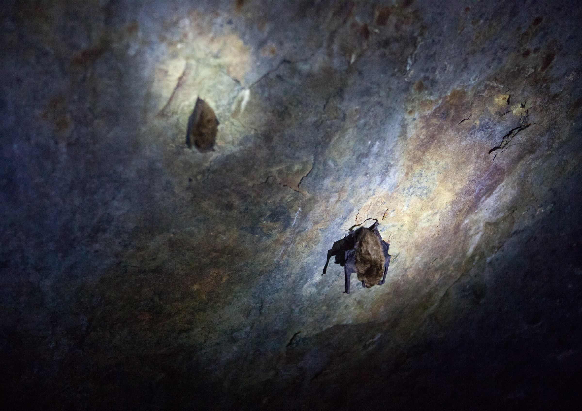 Hibernating bats cling to the ceiling of a cave in Upstate New York. Photograph by Geoffrey Giller