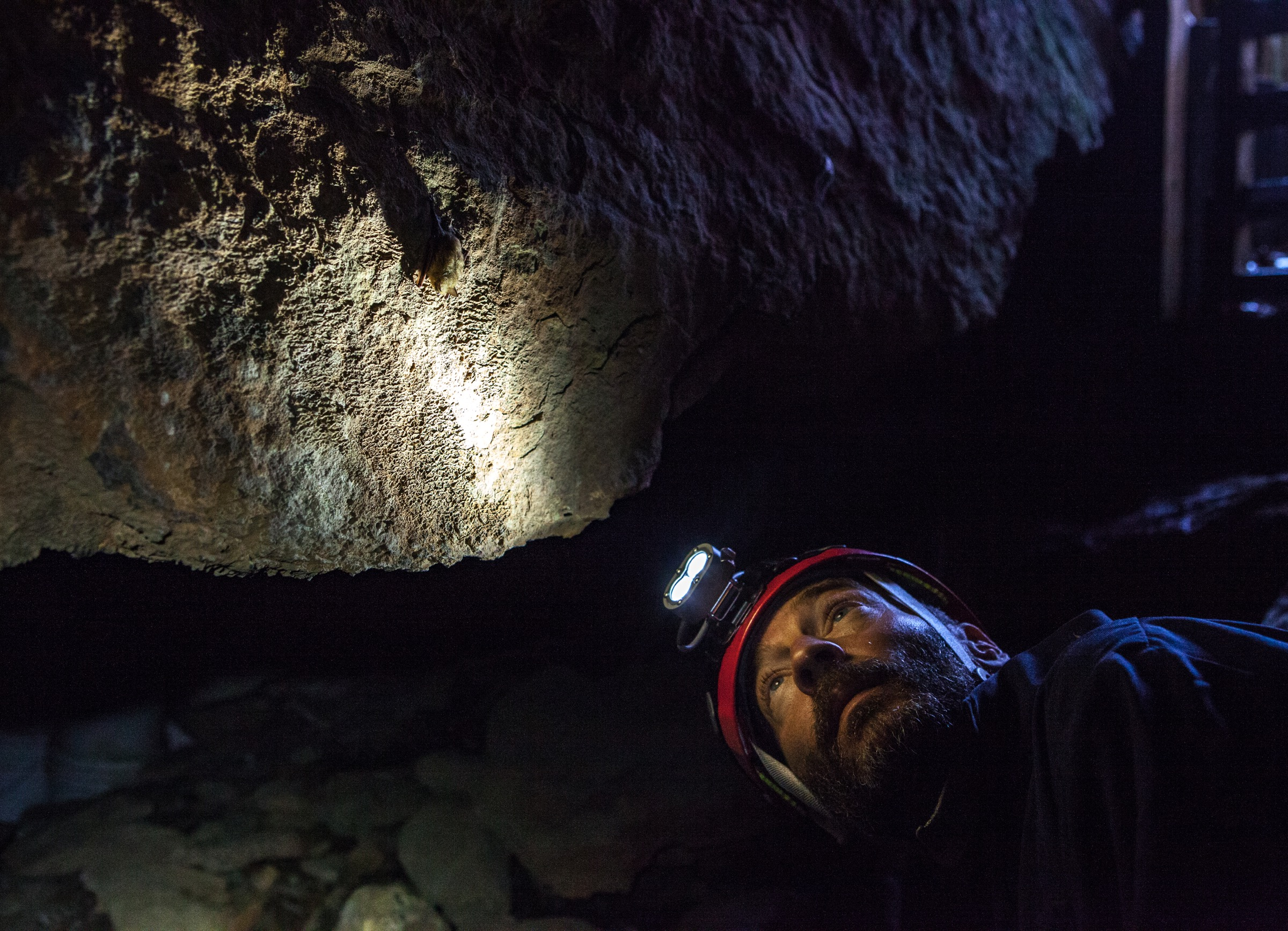 Richard Stark, a biologist with the U.S. Fish and Wildlife Service, examines a tricolored bat (Perimyotis subflavus) near the entrance of the cave. Photograph by Geoffrey Giller