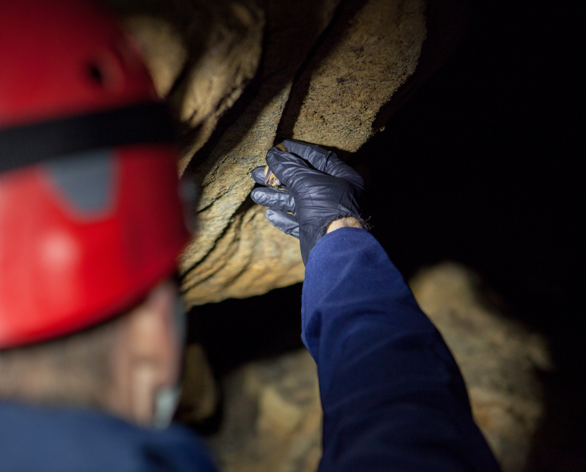 Richard Stark, a biologist with the U.S. Fish and Wildlife Service, collects a dead bat from the walls of a cave in eastern Oklahoma. It's the first recorded white-nose syndrome fatality in this location. Photograph by Geoffrey Giller