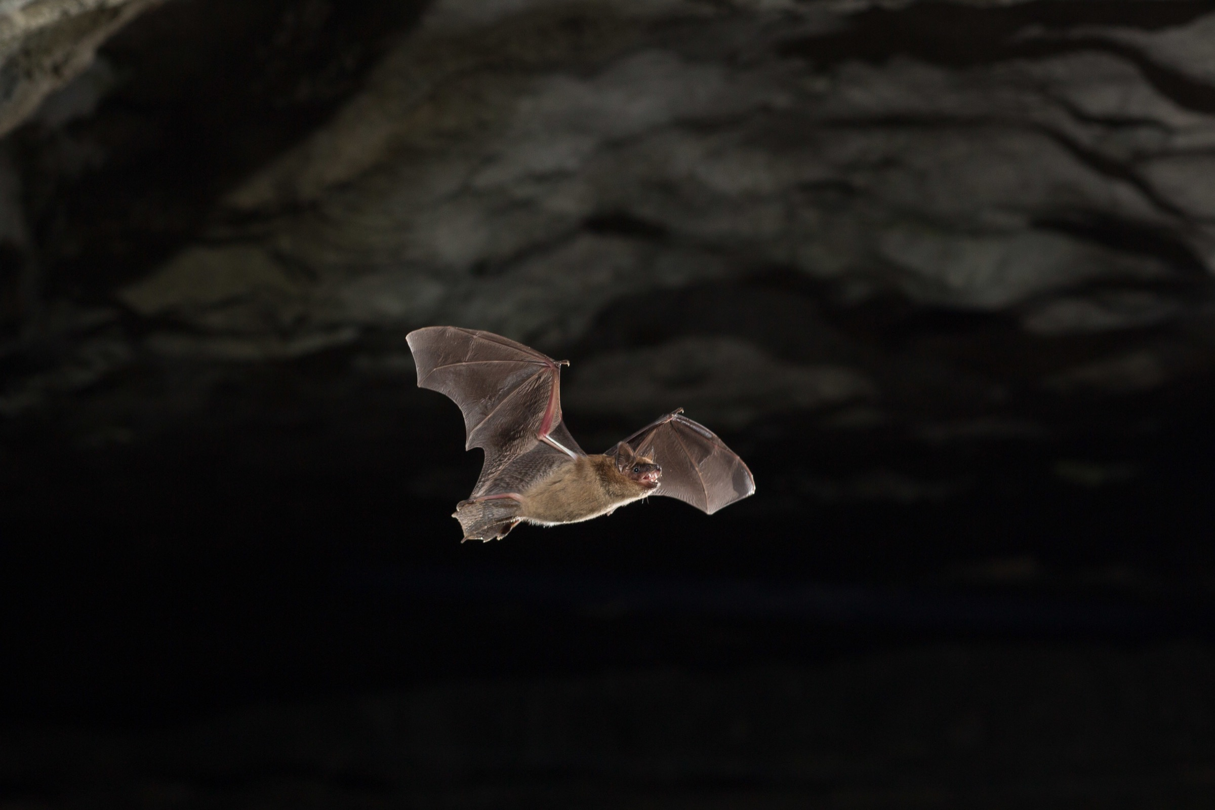 A big brown bat (Eptesicus fuscus) emerges from a cave in Indiana. Photograph by Michael Durham