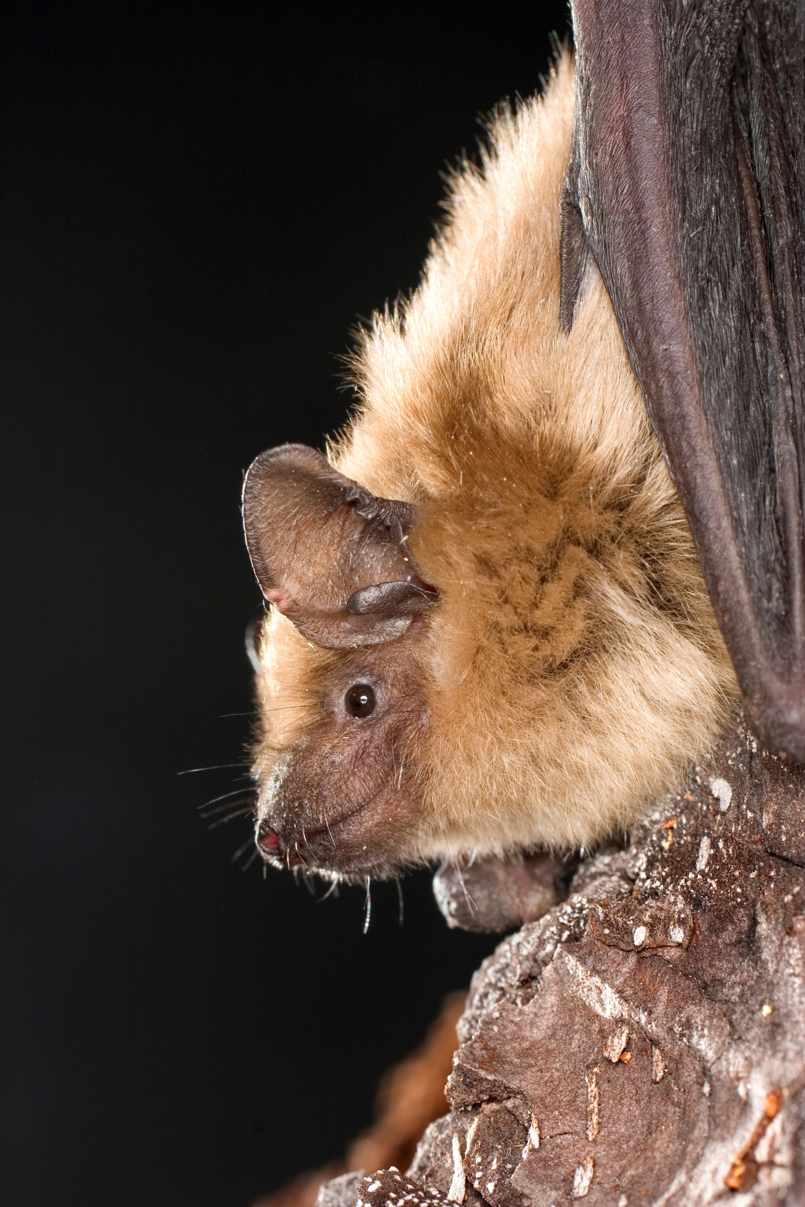 A healthy big brown bat (Eptesicus fuscus) clings to the wall of a cave in the Rogue River National Forest, Oregon. Photograph by Michael Durham