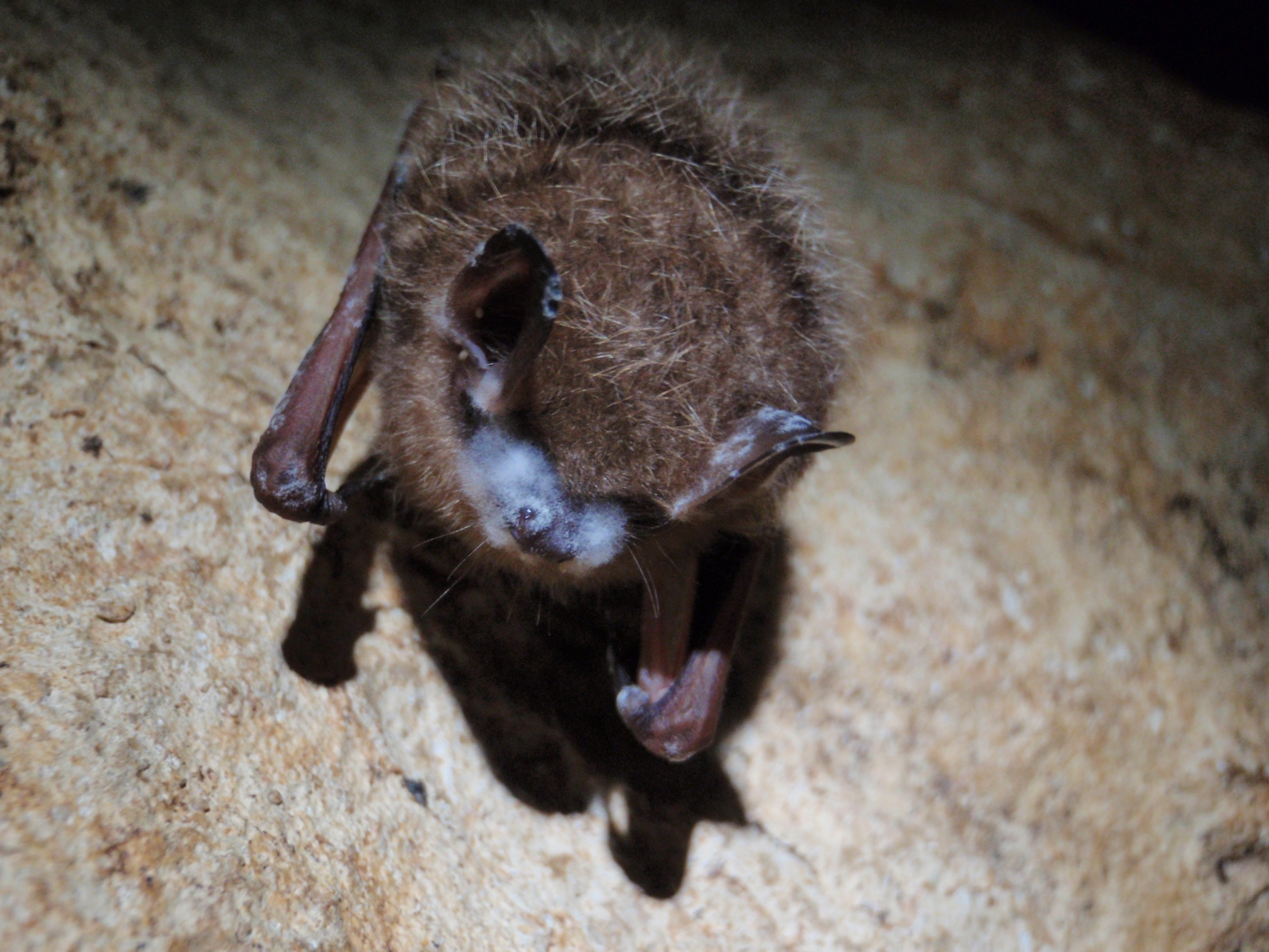 A tri-colored bat (Perimyotis subflavus) collected in Cumberland Gap National Historic Park shows visible signs of white-nose syndrome. Photograph courtesy of the National Park Service