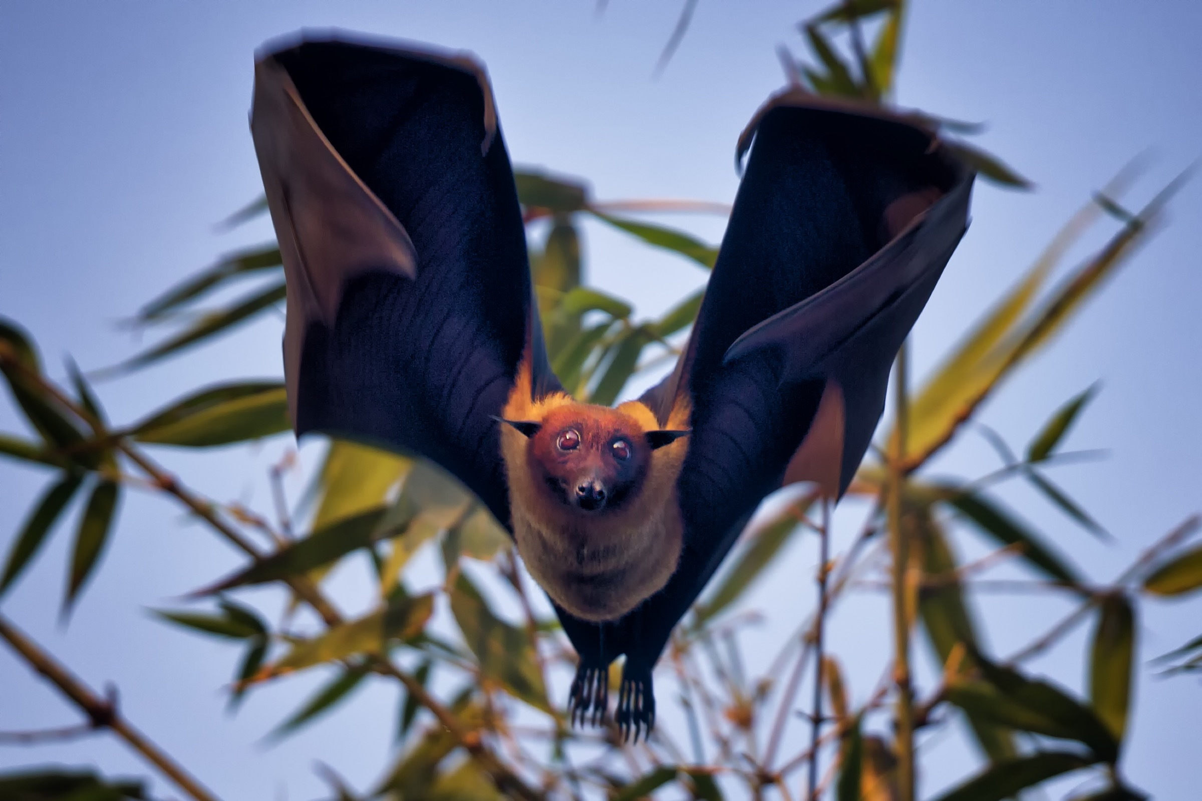 An Indian flying fox (<em>Pteropus medius</em>) lifts off in the orange light of a late winter sunset in northern Bangladesh. Photograph by A.M. Ahad