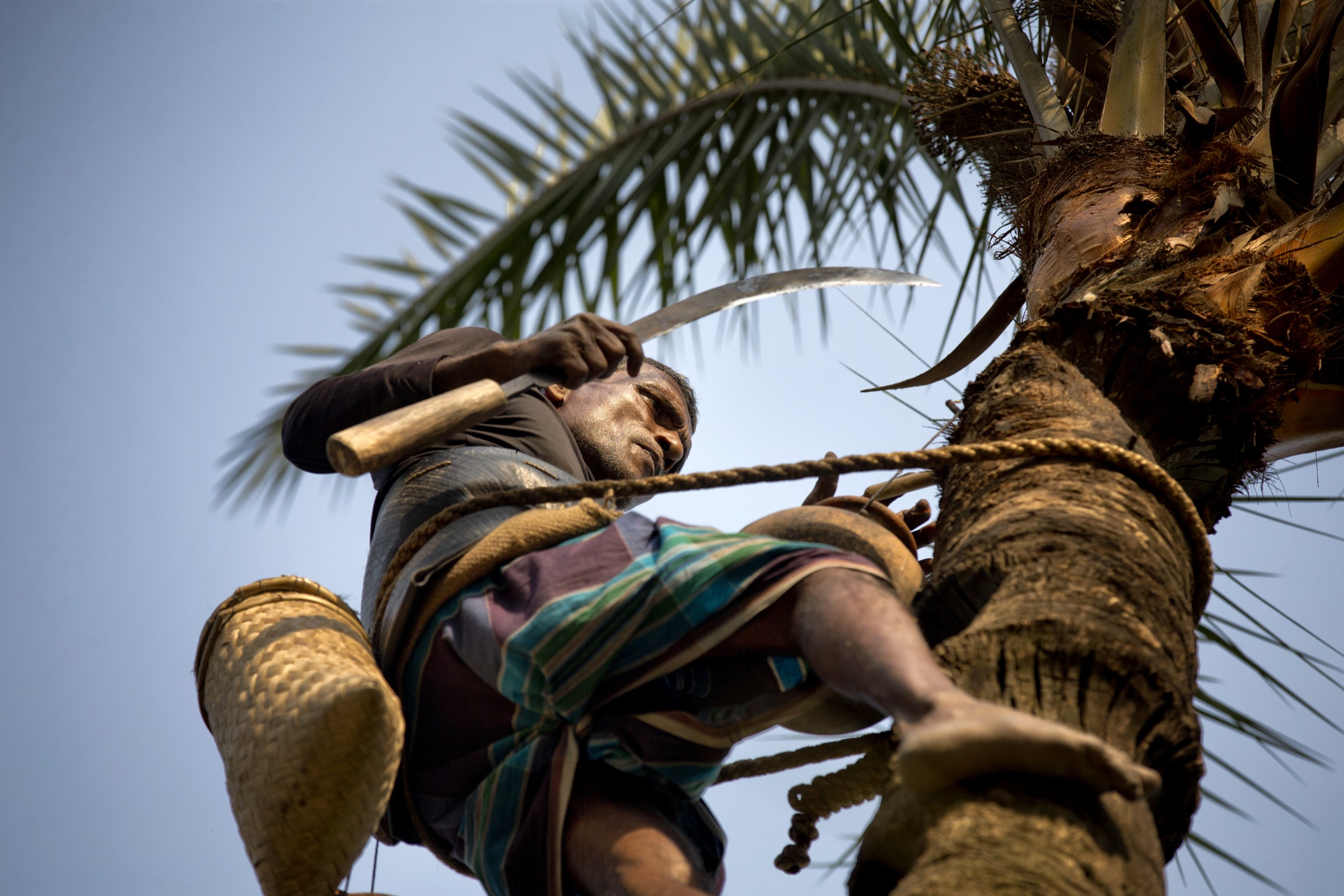 Each day during the winter, Bangladesh's <em>gachhis</em> climb date palm trees, carve away a layer of bark and collect the thin, sweet sap that oozes form the tree. Photograph by A.M. Ahad