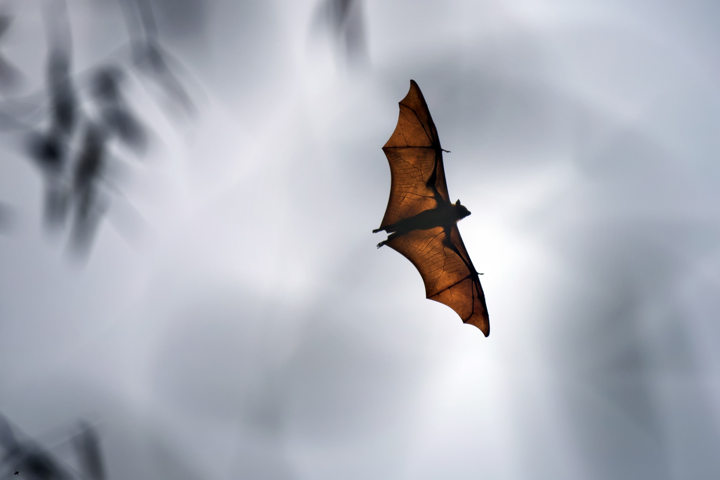 An Indian flying fox (<em>Pteropus medius</em>) passes over a village near northern Bangladesh's Rangpur City looking for an unoccupied spot to roost for the day. Photograph by A.M. Ahad