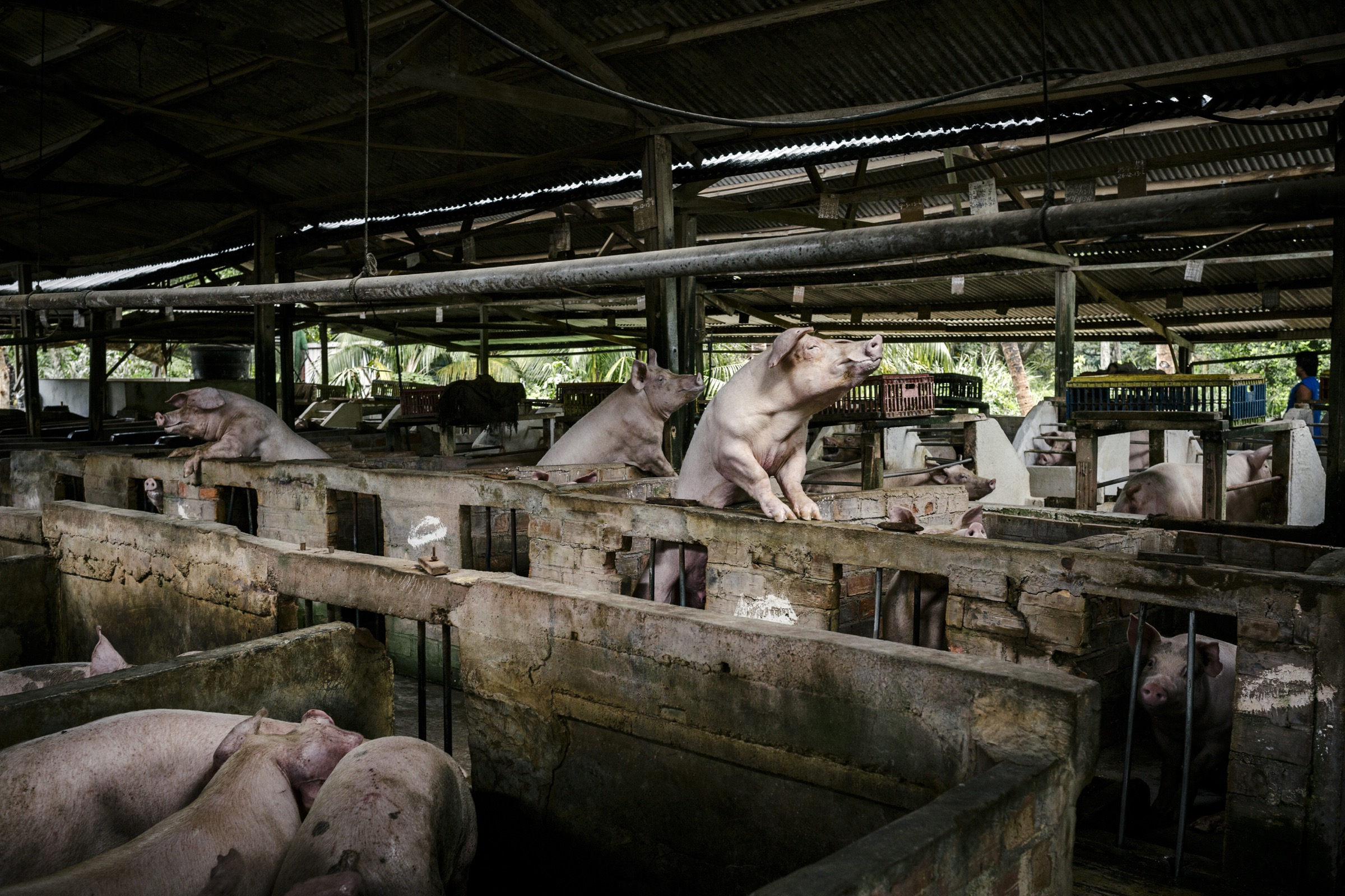 Pigs peer over their stalls at a pig farm in Kuala Langat.