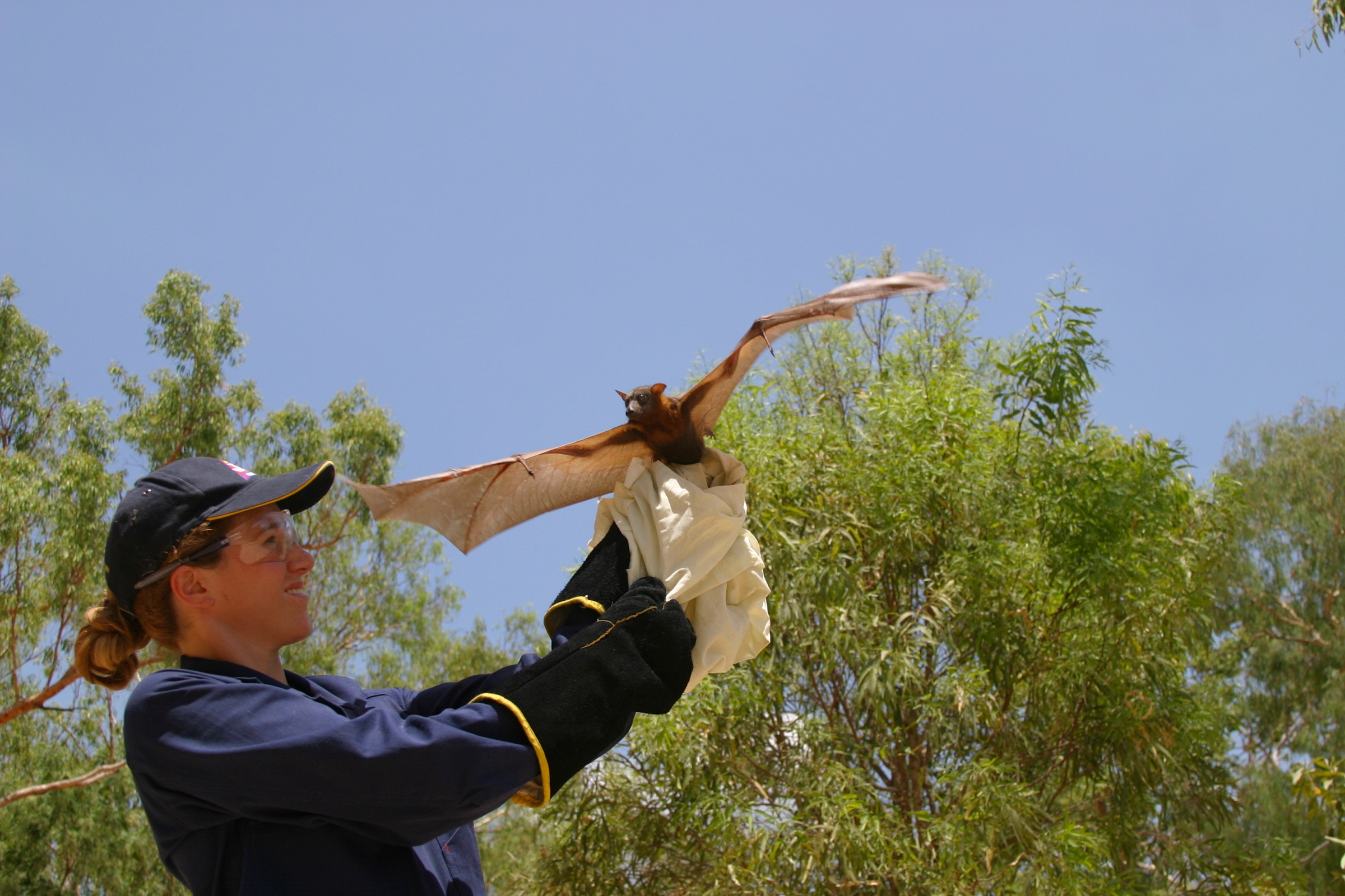Ecologist and epidemiologist Raina Plowright prepares to release a little red flying fox (<em>Pteropus scapulatus</em>) after collecting tissue samples from the animal. Photograph by Gary Tabor