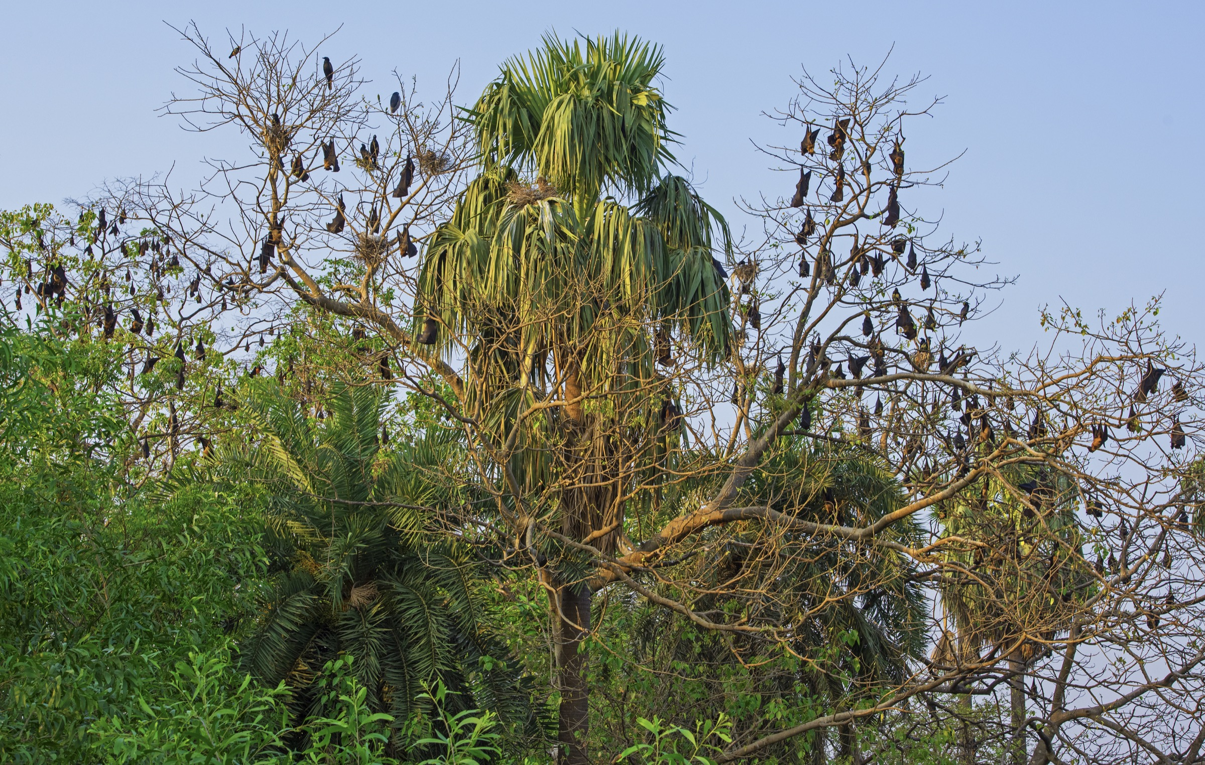 Indian flying foxes (<em>Pteropus medius</em>) typically roost in groups like this colony photographed in India's West Bengal. These groups can number anywhere from several dozen to several hundreds. Photograph by Dhritiman Mukherjee