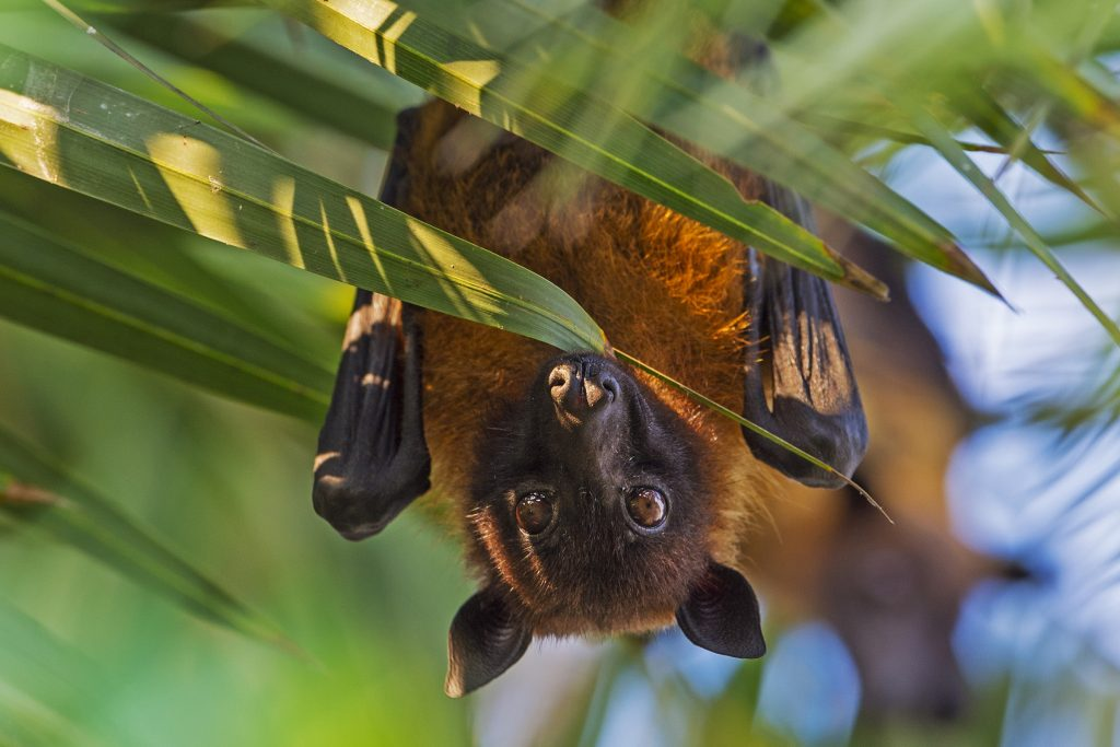 An Indian flying fox (Pteropus medius) peers out of the leaves of a date palm tree (Phoenix dactylifera) in India's West Bengal, just across the border with Bangladesh. Photograph by Dhritiman Mukherjee