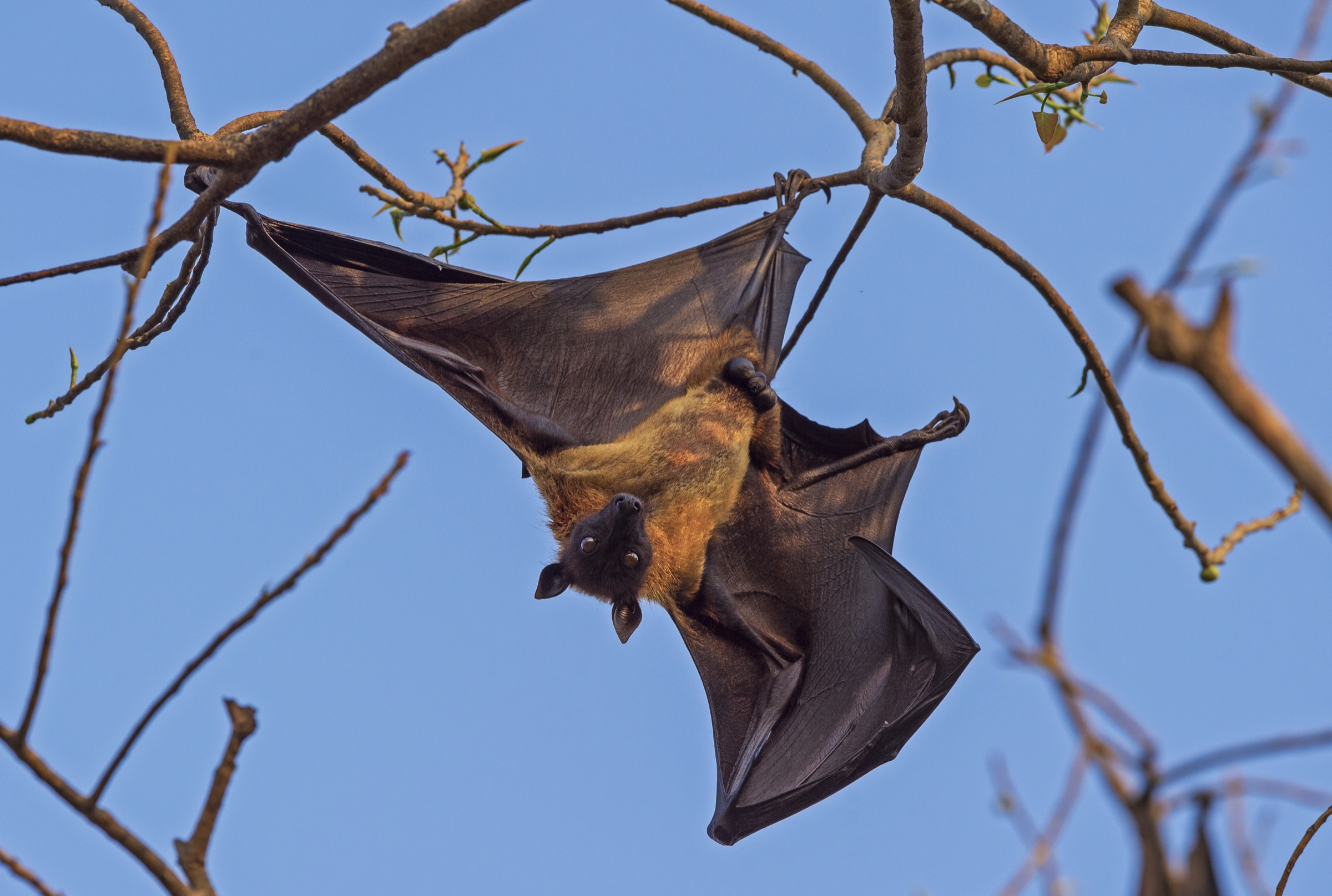 An Indian flying fox (<em>Pteropus medius</em>), a fruit bat native to Bangladesh and India, dangles from a perch in the roost tree where it will spend the day before going off to forage when the sun sets. Photograph by Dhritiman Mukherjee
