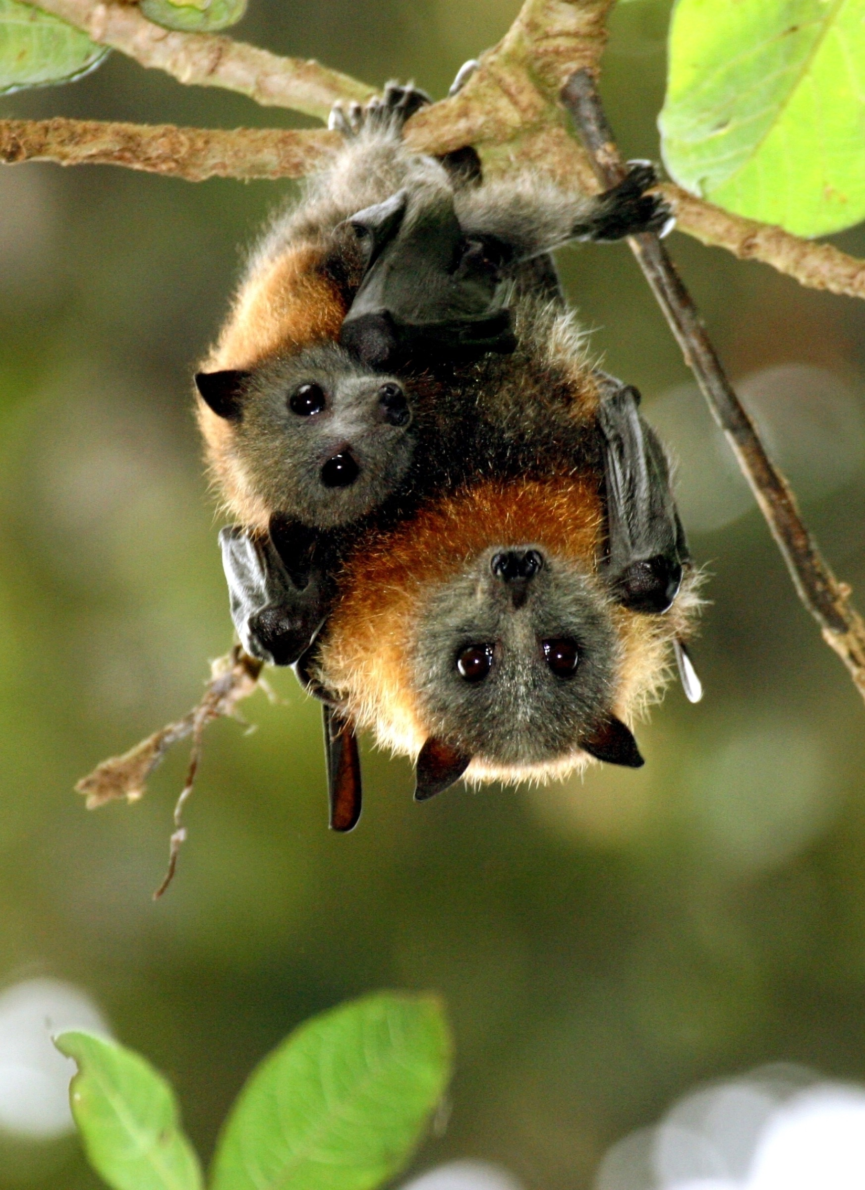 A young grey-headed flying fox, and a potential source of a wide variety of viruses, clings to its mother in a forest of Queensland, Australia. Photograph by Vivien Jones