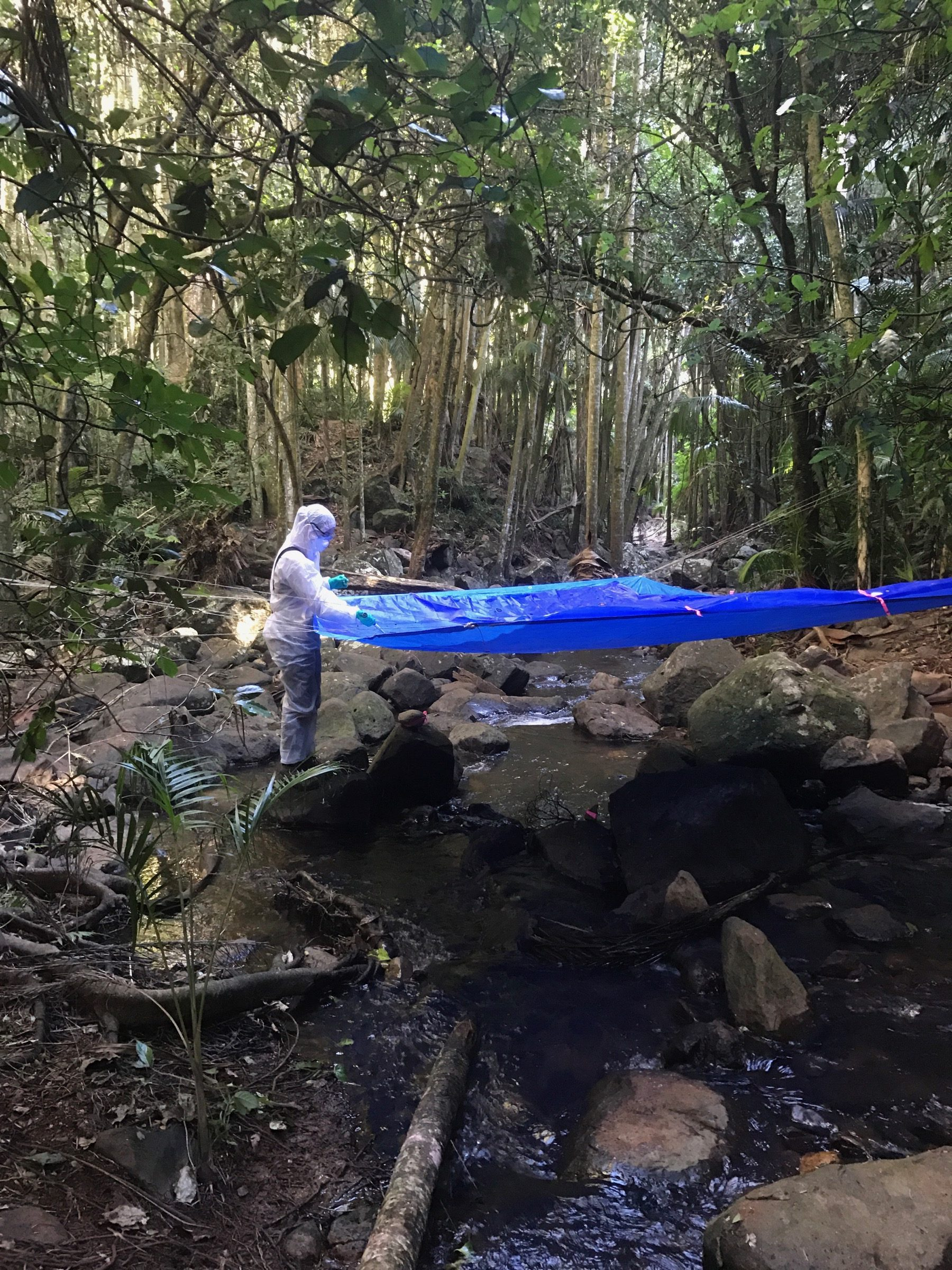 PhD student Tamika Lunn, wearing full personal protective equipment (PPE), conducts an under-roost Hendra virus survey after a spillover event in the Queensland hinterland, Australia. Photograph by Geoffrey Smith