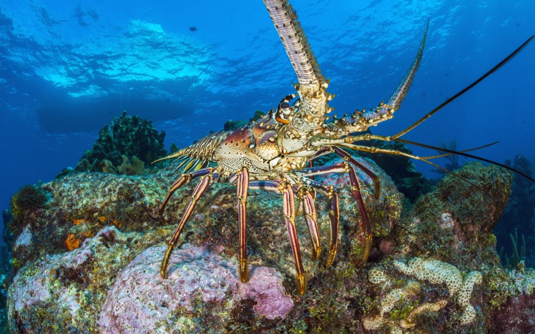 A Caribbean spiny lobster emerges onto a coral reef in late afternoon.