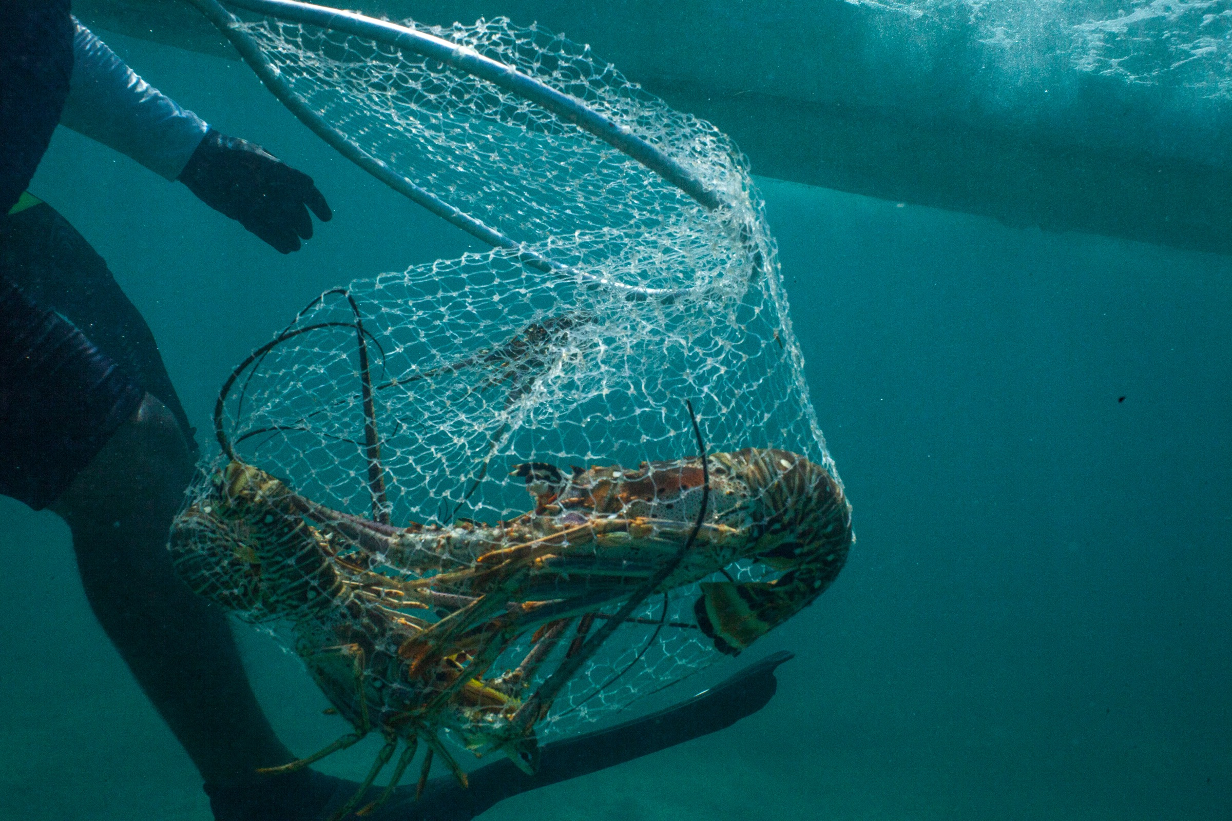 Magdiel Naal hauls a net full of lobsters up to a lancha off Punta Allen, Mexico. Photograph by Dominic Bracco II