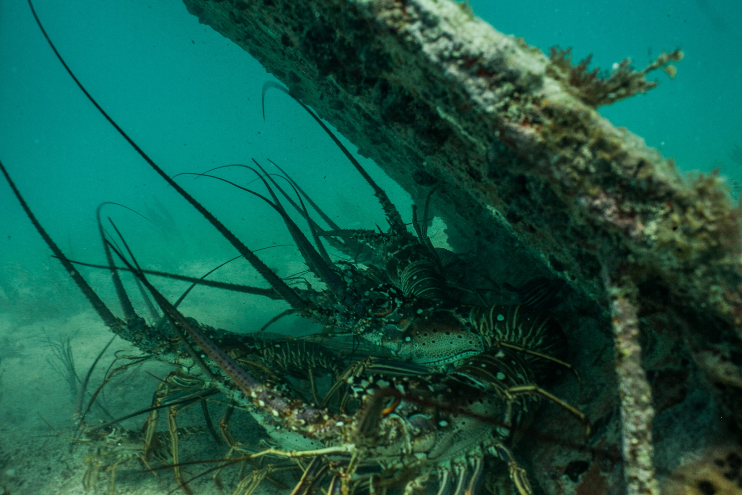 Caribbean spiny lobsters huddle under a casita off Punta Allen, Mexico. Photograph by Dominic Bracco II