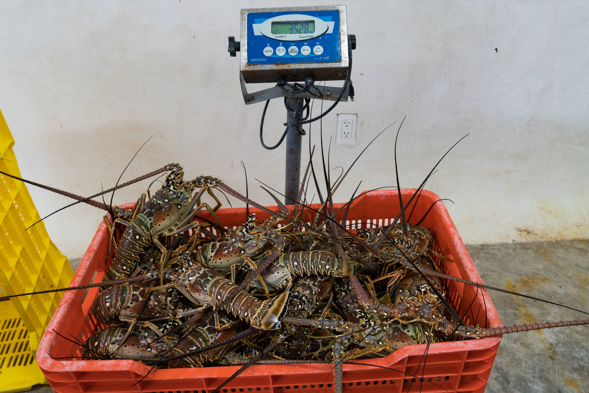 Punta Allen lobster fishermen can take home more than 100 kilograms of lobster in a day. Photograph by Steve De Neef