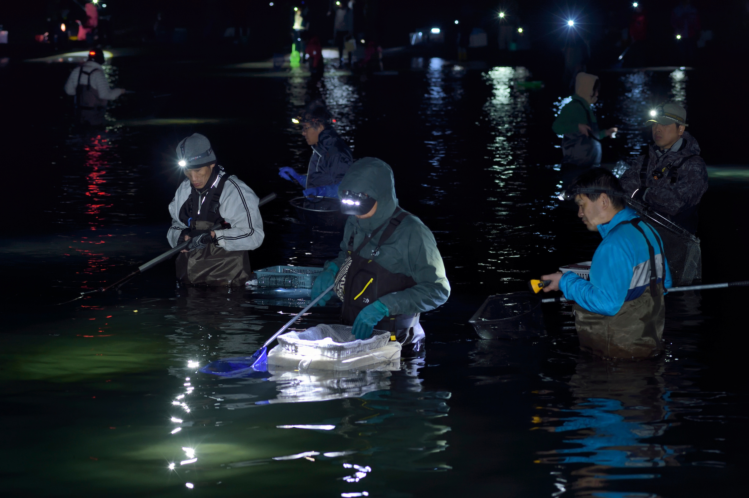 Local fishers use nets and buckets to scoop spawning firefly squid from the shallows of Japan's Toyama Bay.