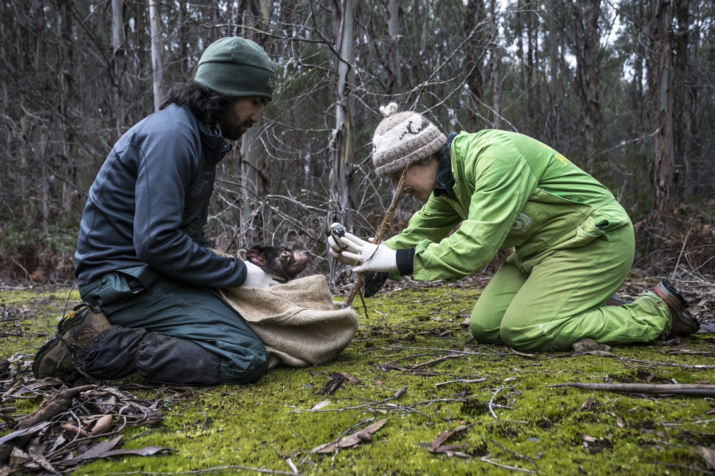 Wildlife veterinarian Manuel Ruiz and volunteer Christine Weldrick take photographs of a Tasmanian devil with facial tumors in order to track the disease's progression. If the team is able to recapture the same individual in the future, they will refer to photos like these to assess how the tumors have changed over time.