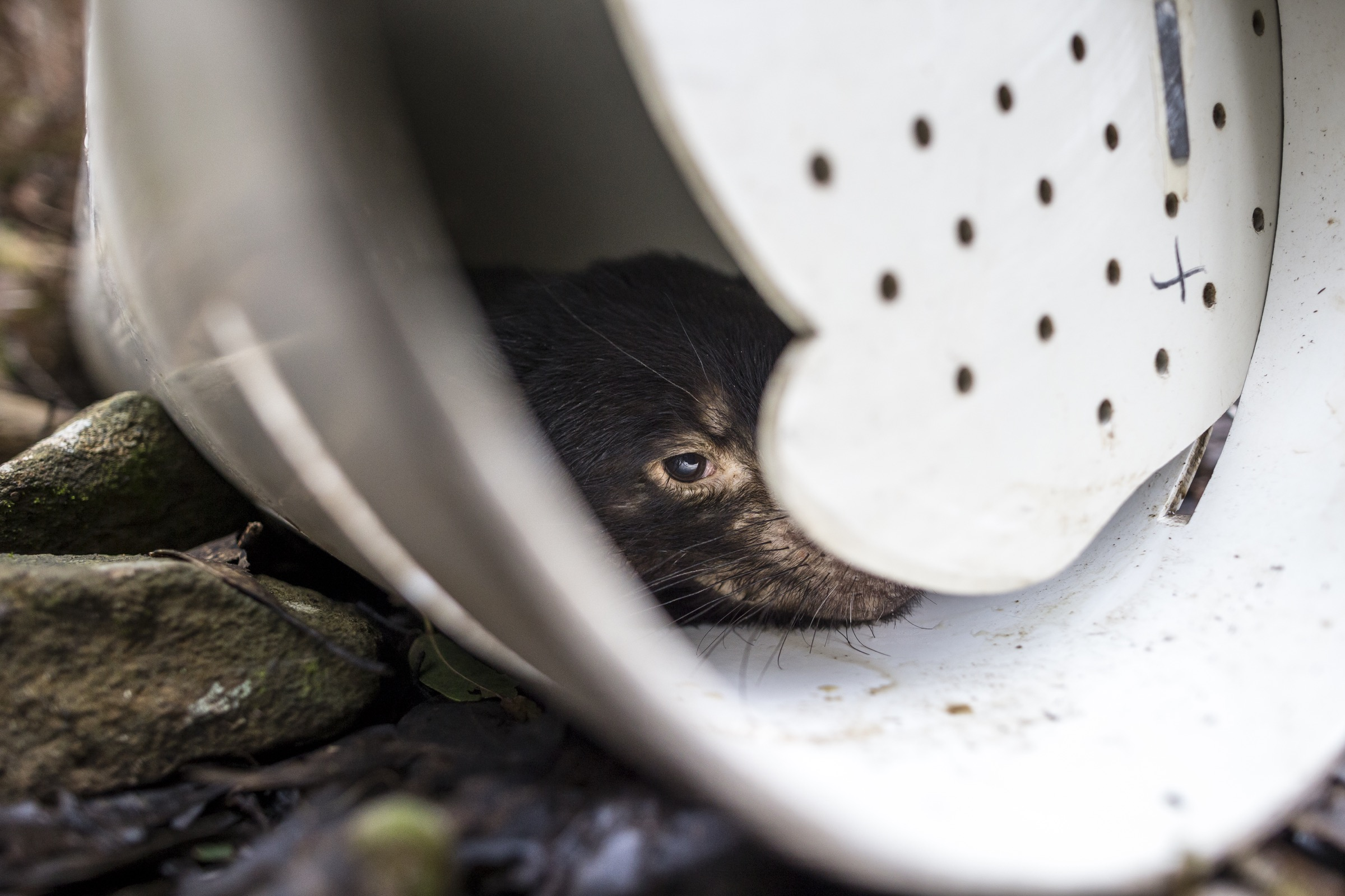 Researchers bait traps with lamb to lure scavenging Tasmanian devils as they forage at night. With each devil they catch, the scientists take measurements, blood and tissues samples, and photographs before releasing the animal back into the wild.