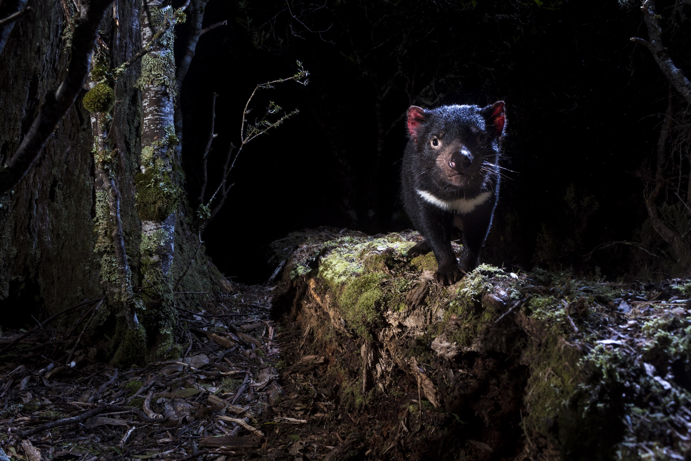 Using remote camera traps, photographer Heath Holden captured rare images like this one of wild Tasmanian devils (Sarcophilus harrisii) in their natural habitat. The animals' bright red ears and eerie, raucous scuffles earned the scrappy marsupials their haunting common name.