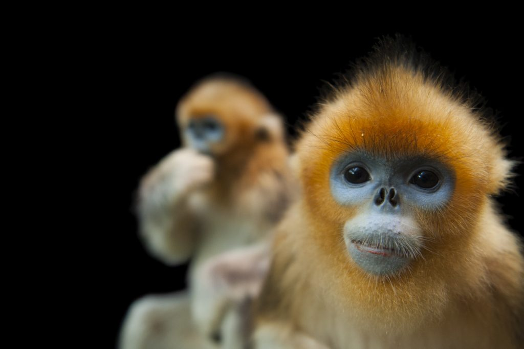 golden snub-nosed monkey (Rhinopithecus roxellana)—Endangered