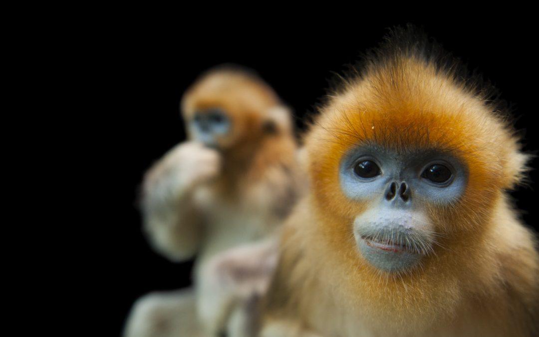 golden snub-nosed monkey (Rhinopithecus roxellana)—Endangered