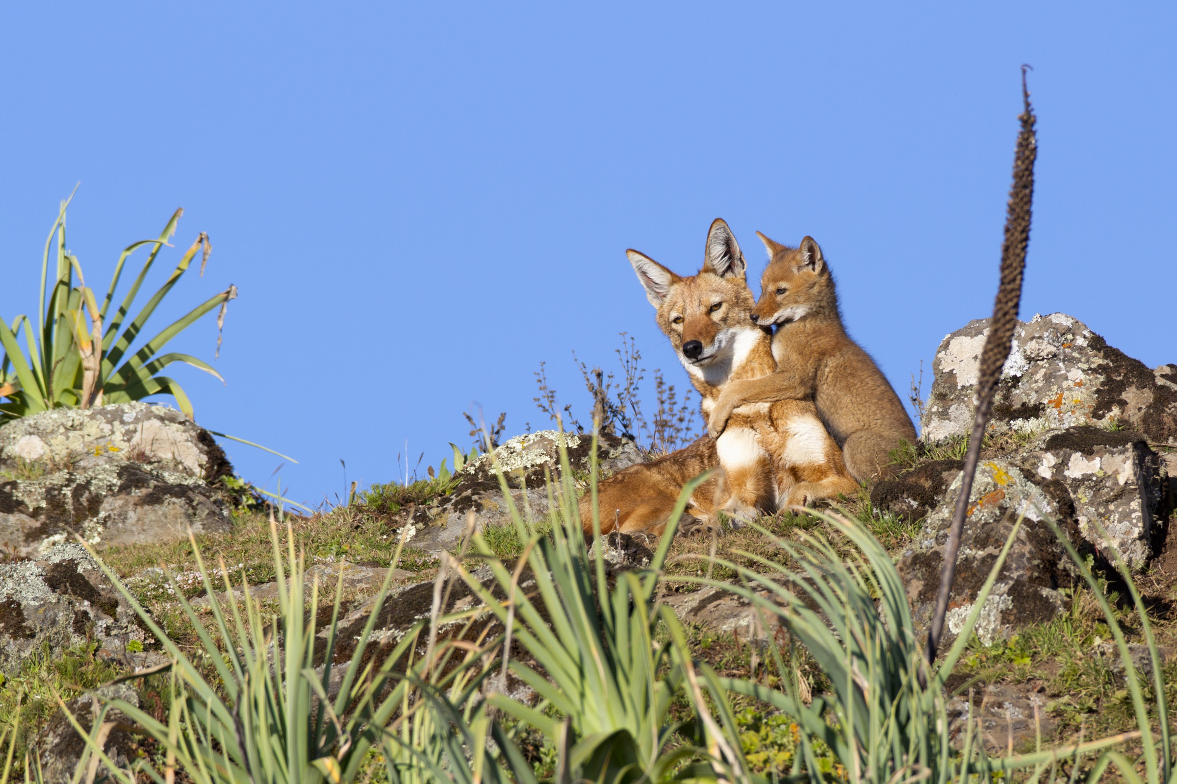 An Ethiopian wolf pup plays with an older sibling in Bale Mountains National Park, Ethiopia.